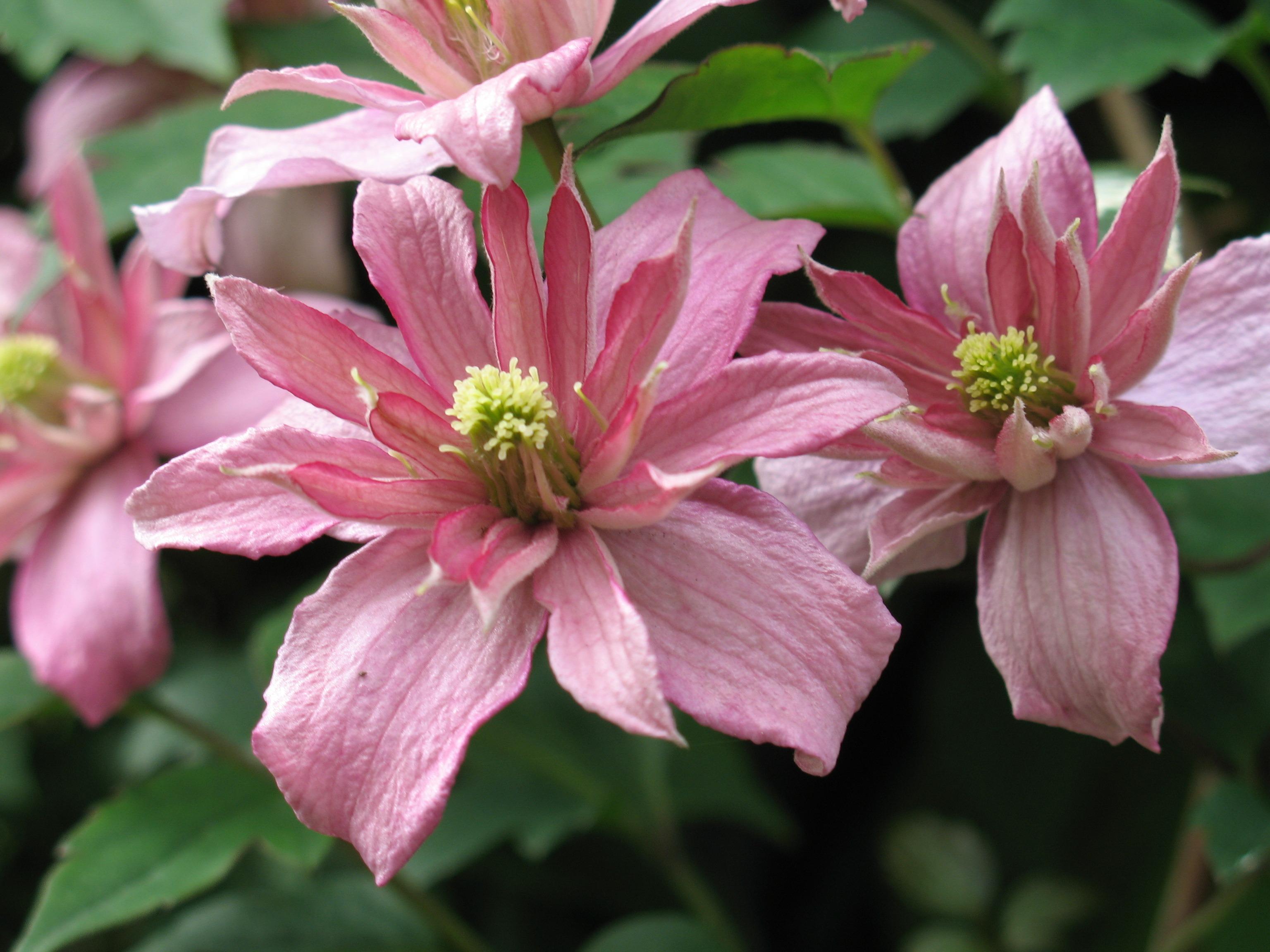 Free Images Blossom Flower Petal Spring Botany Pink Flora