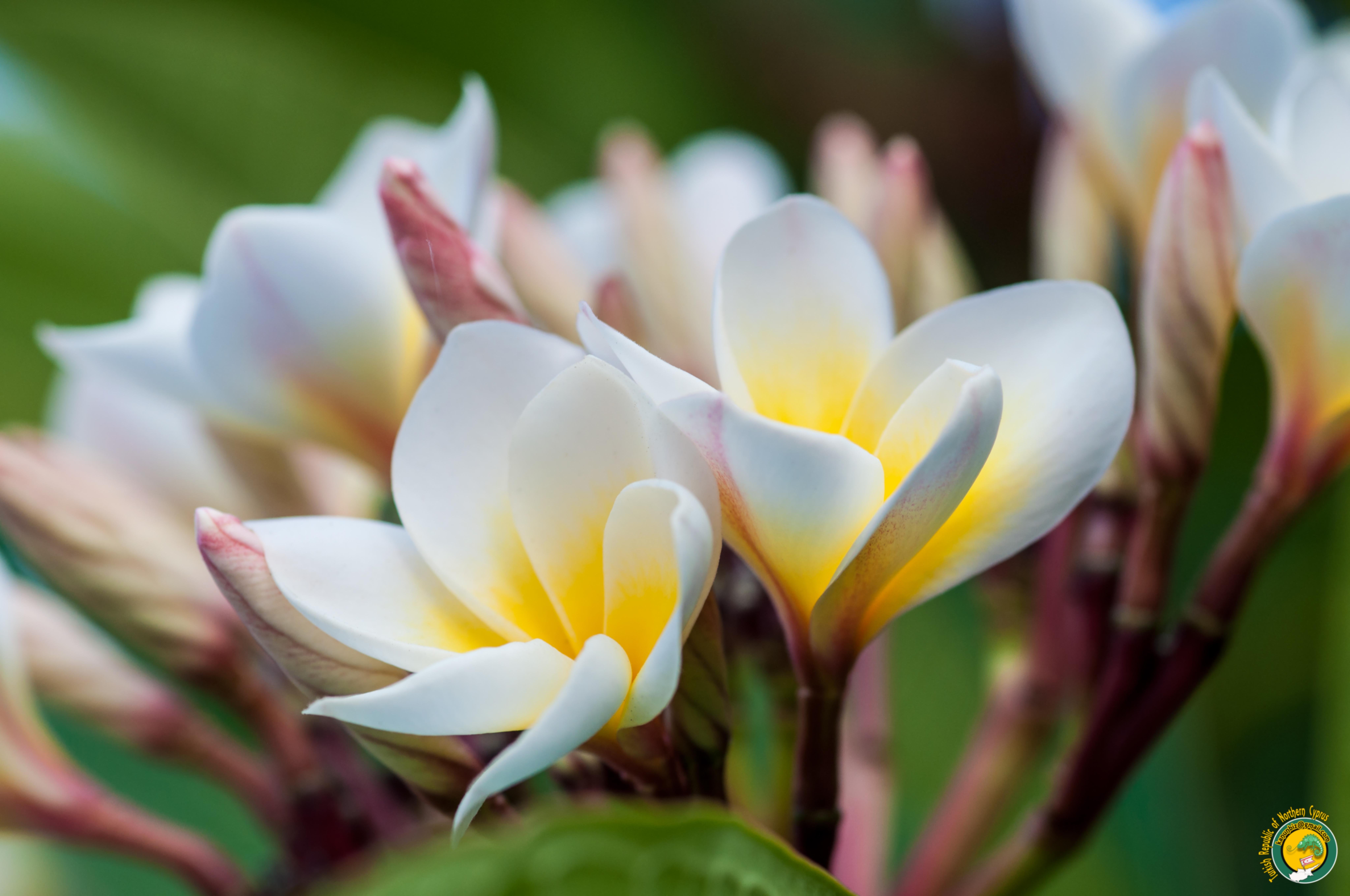images gratuites fleur p tale printemps flore fleur sauvage fermer macrophotographie. Black Bedroom Furniture Sets. Home Design Ideas