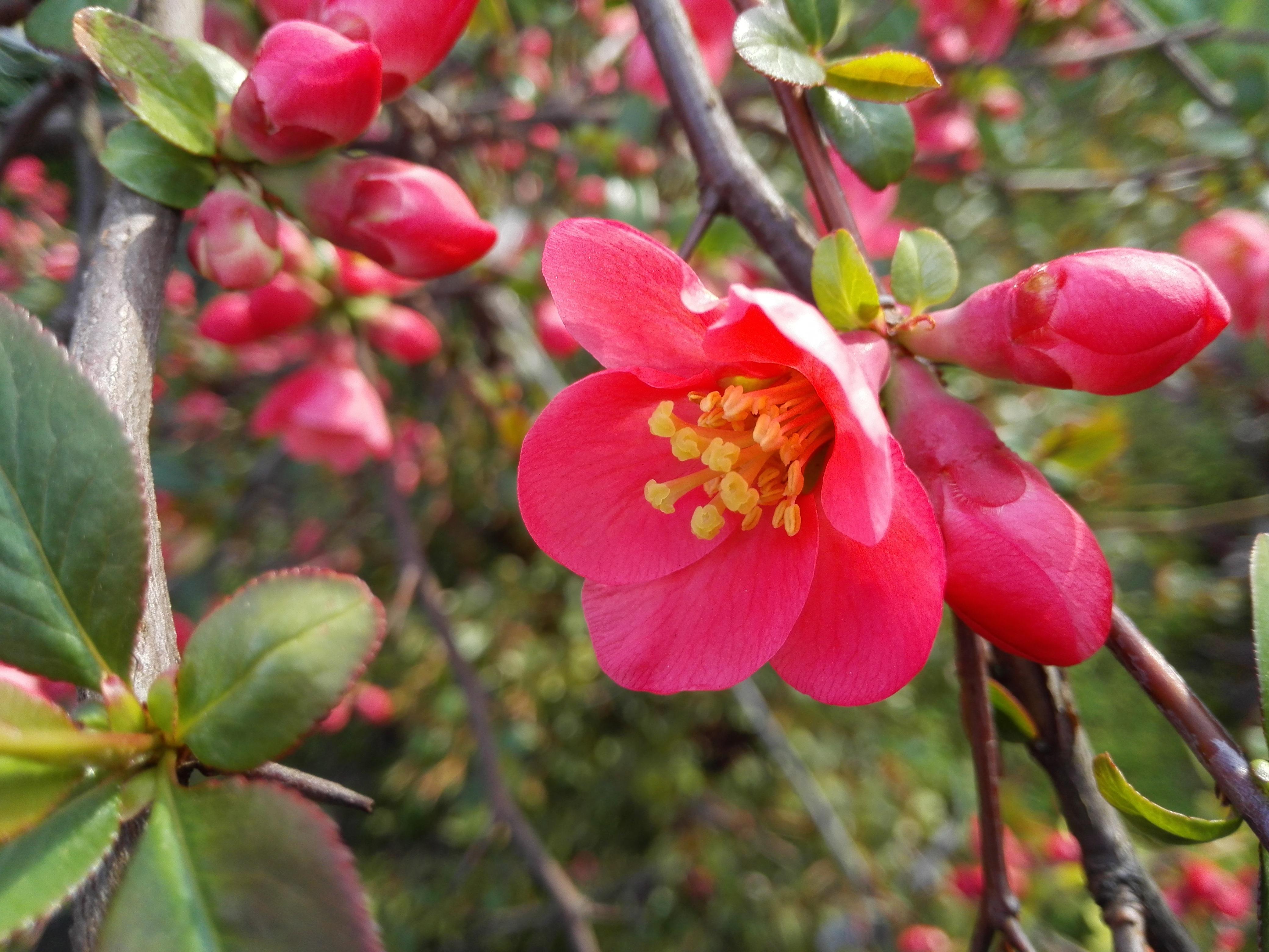 Images Gratuites Petale Produire Botanique Flore Fleur Rouge