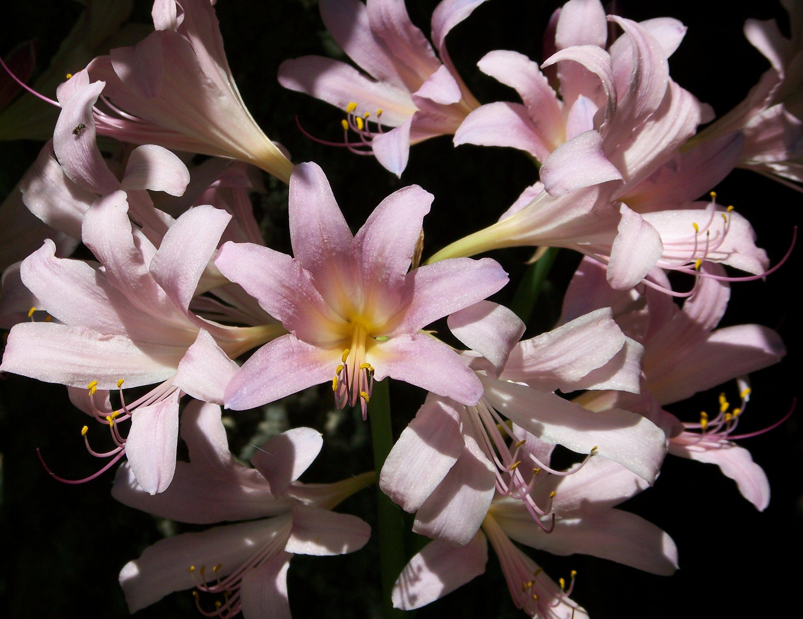 images gratuites fleur p tale t botanique rose flore arbuste fleurs de lys lis ao t. Black Bedroom Furniture Sets. Home Design Ideas