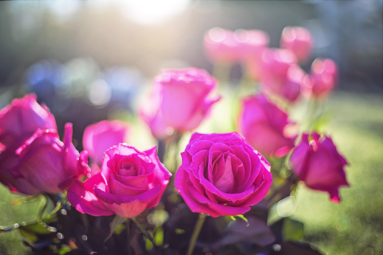 розы, куст, лужайка, бутоны, листья скачать