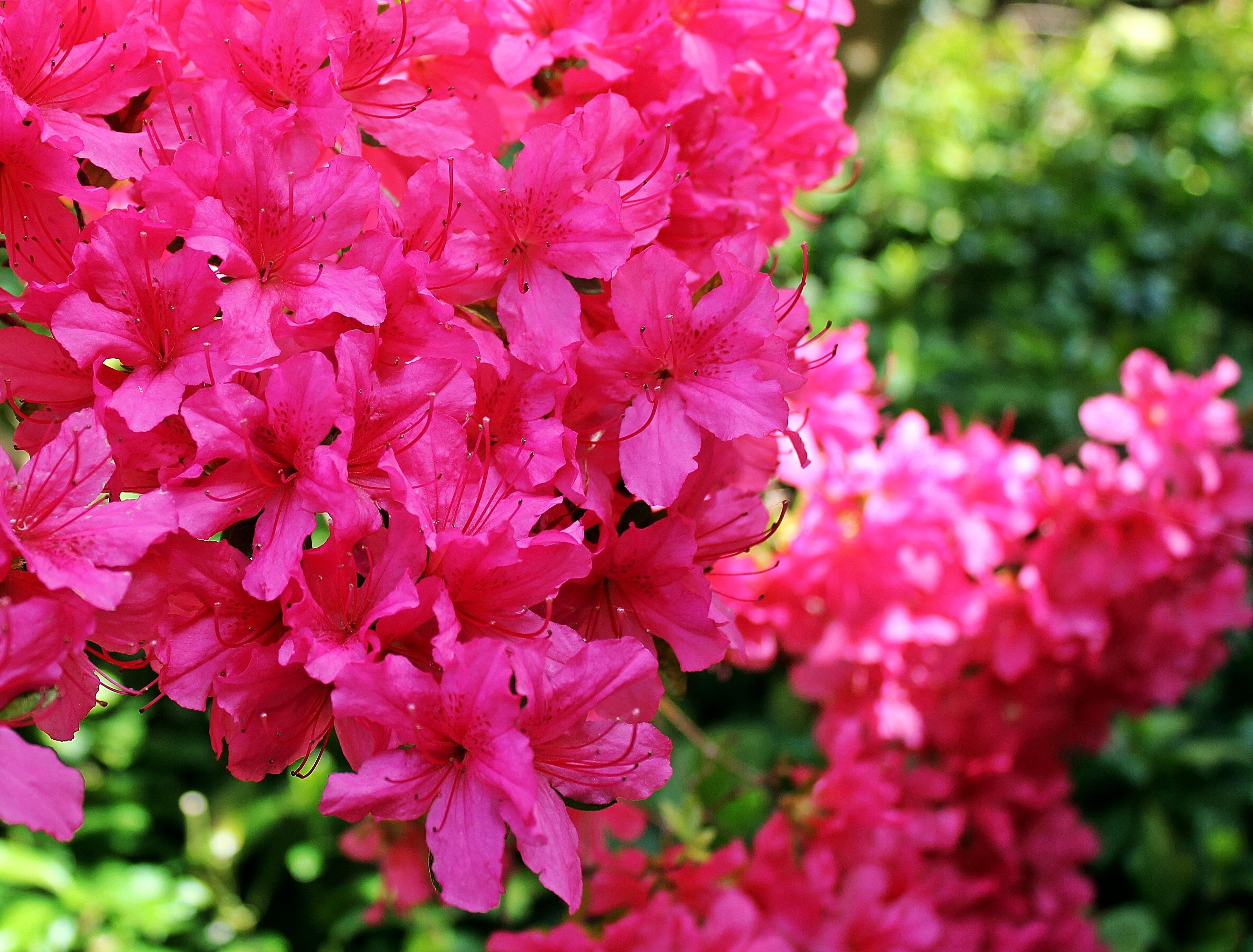 Free images blossom flower petal summer bush spring garden blossom plant flower petal summer bush spring garden pink flora flowers background shrub bright rhododendron azalea mightylinksfo