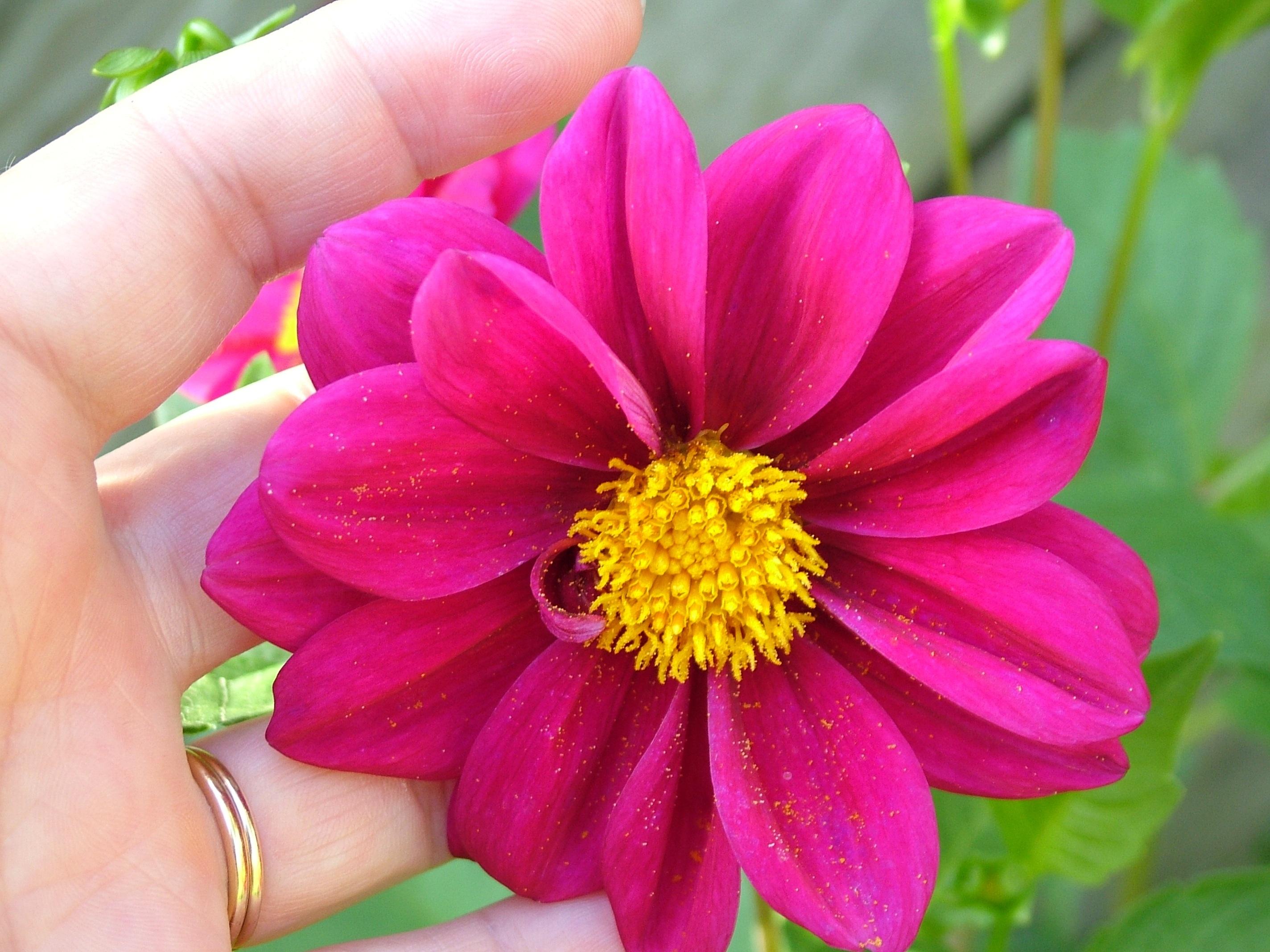 Gambar Mekar Menanam Daun Bunga Musim Panas Bunga Warna