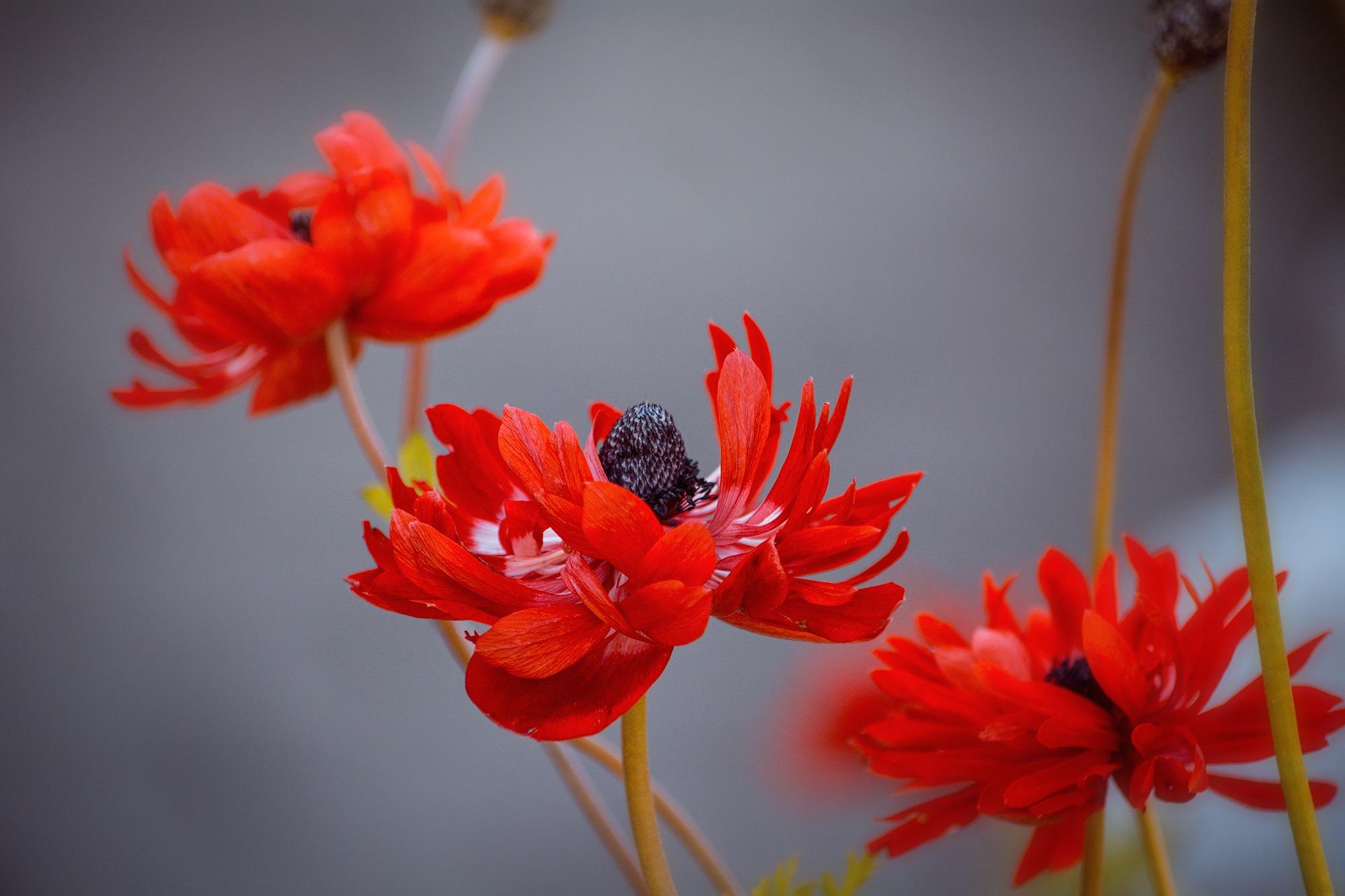 Fotoğraf çiçek Taçyaprağı Yaz Kırmızı Kapat Bitki örtüsü