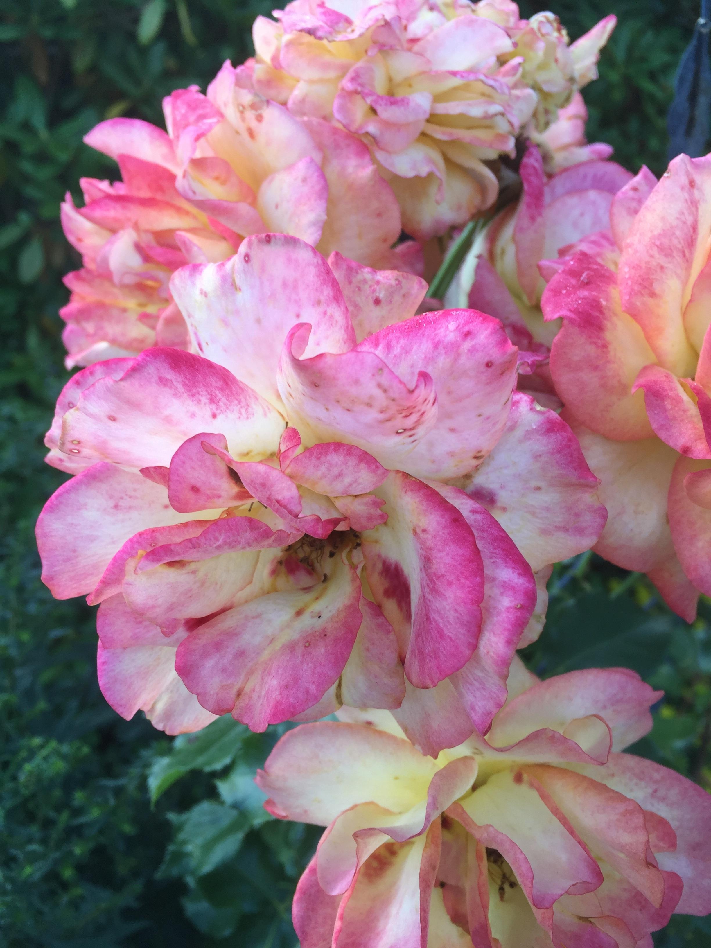 Images gratuites fleur p tale t botanique rose flore des roses arbuste muflier - Plante a fleurs roses ...