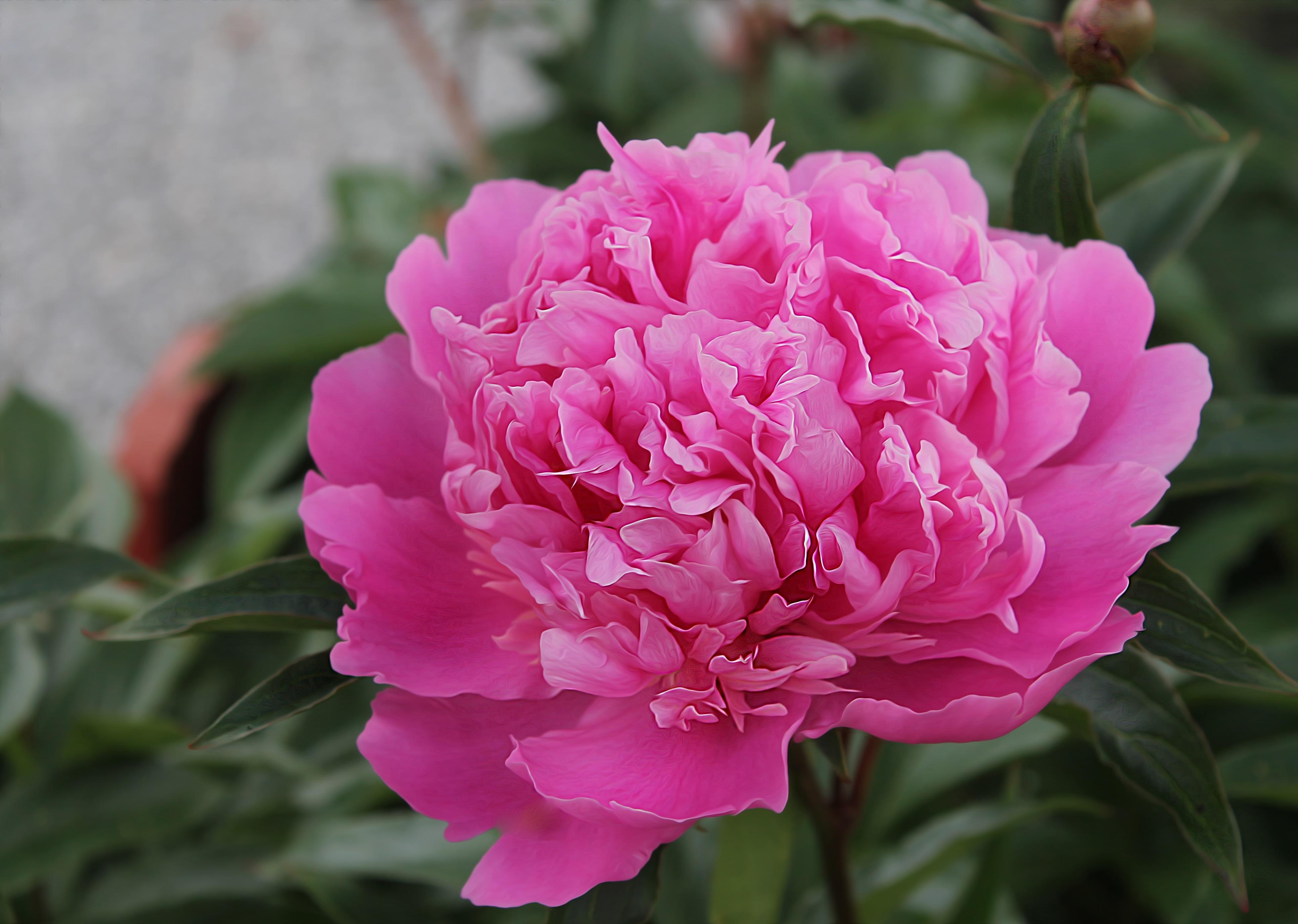 Free Images Blossom Petal Summer Flowers Beautiful Peony