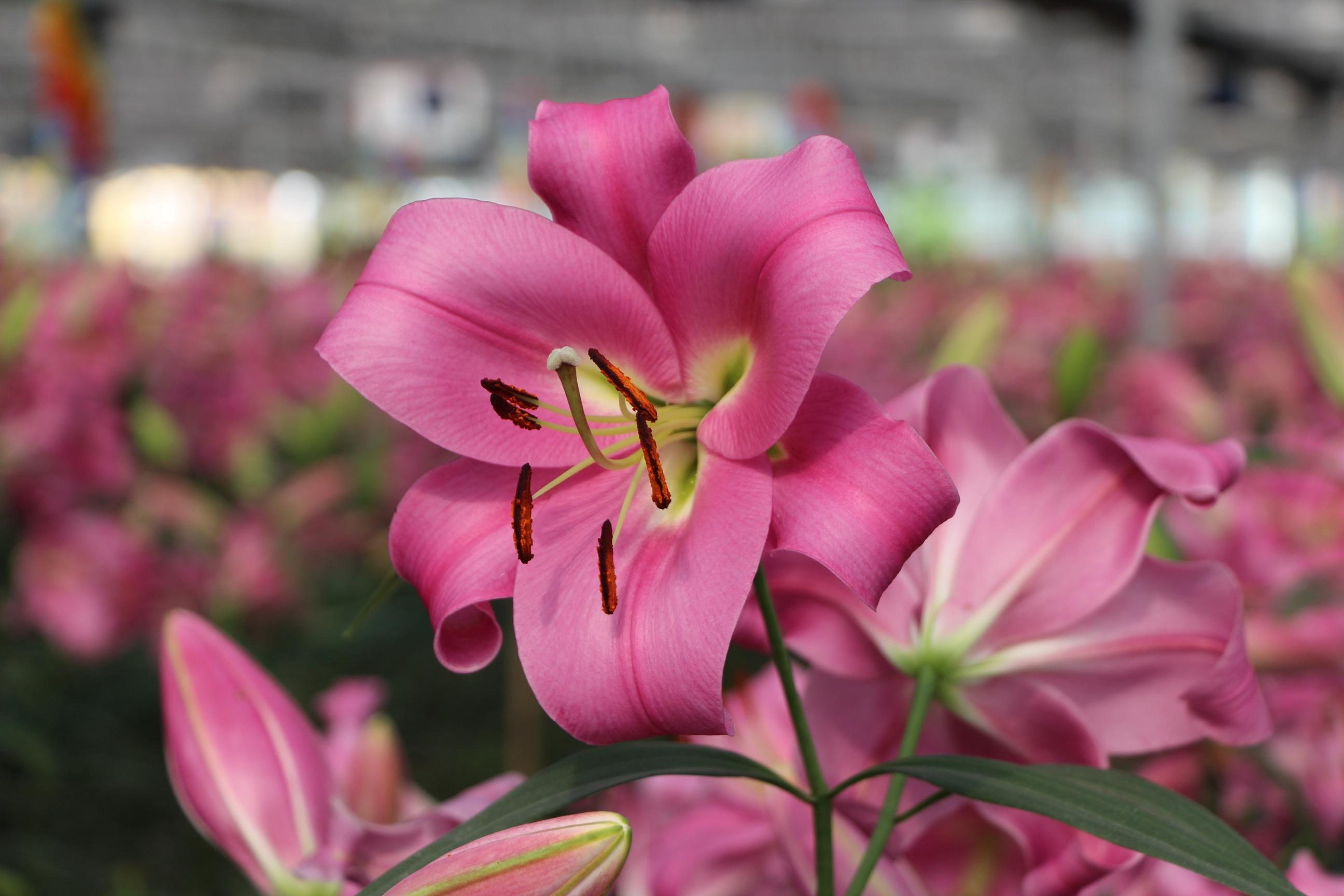 1000 Beautiful Single Flower Photos Pexels Free Stock: Free Images : Blossom, Flower, Petal, Summer, Tulip