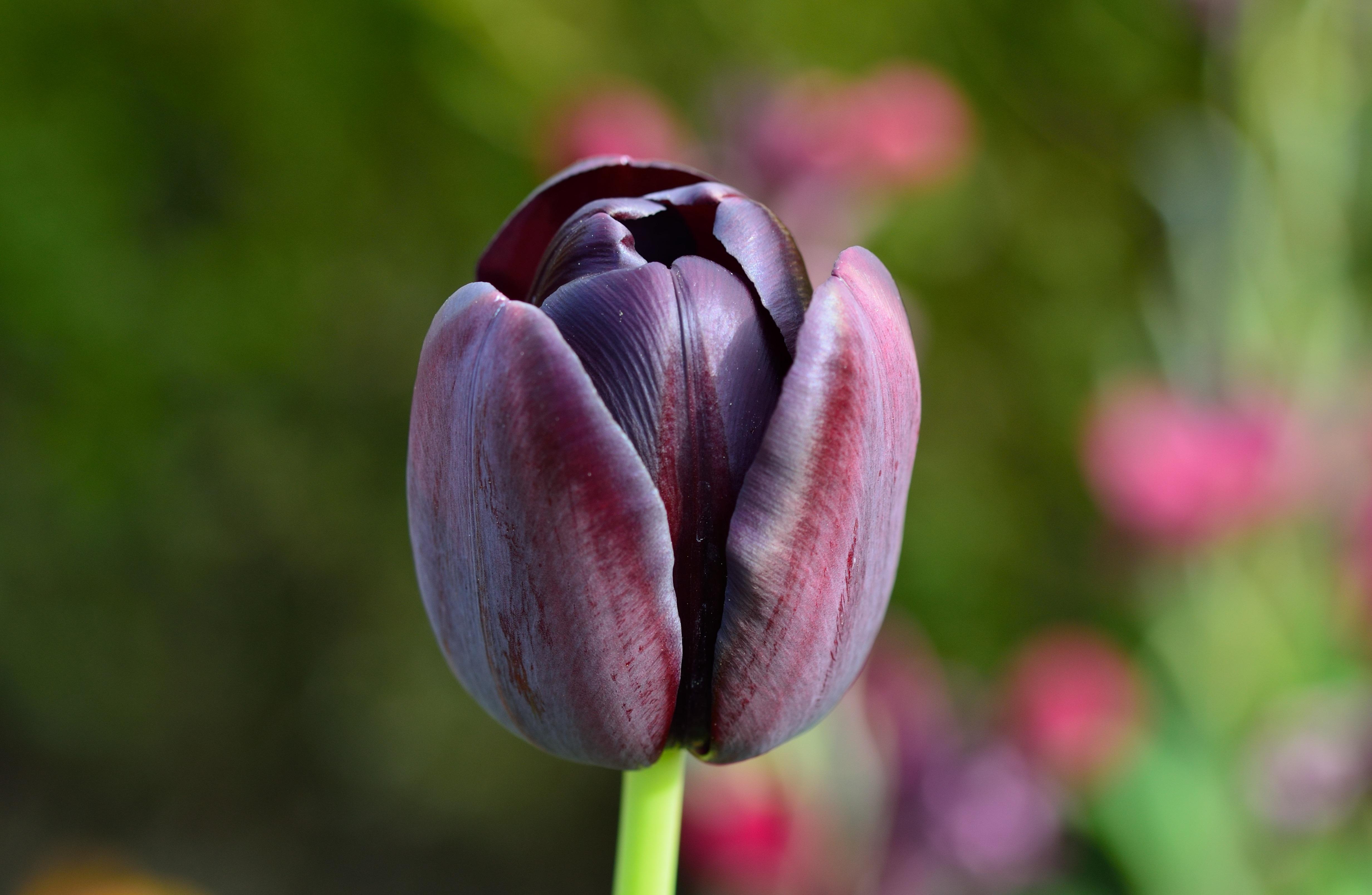 начала цветок тюльпана крупным планом фото заслуженной тебя победой