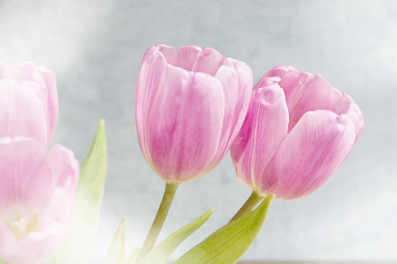 нежные тюльпаны картинки на телефон может быть