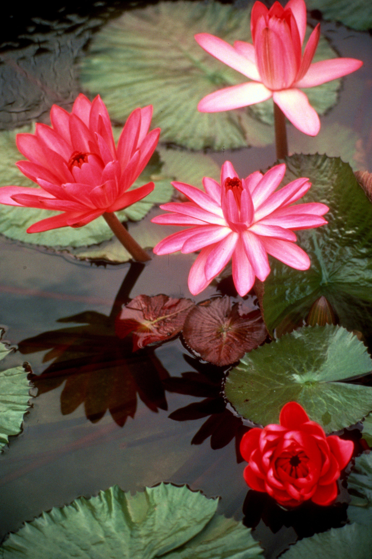 plante aquatique ombre