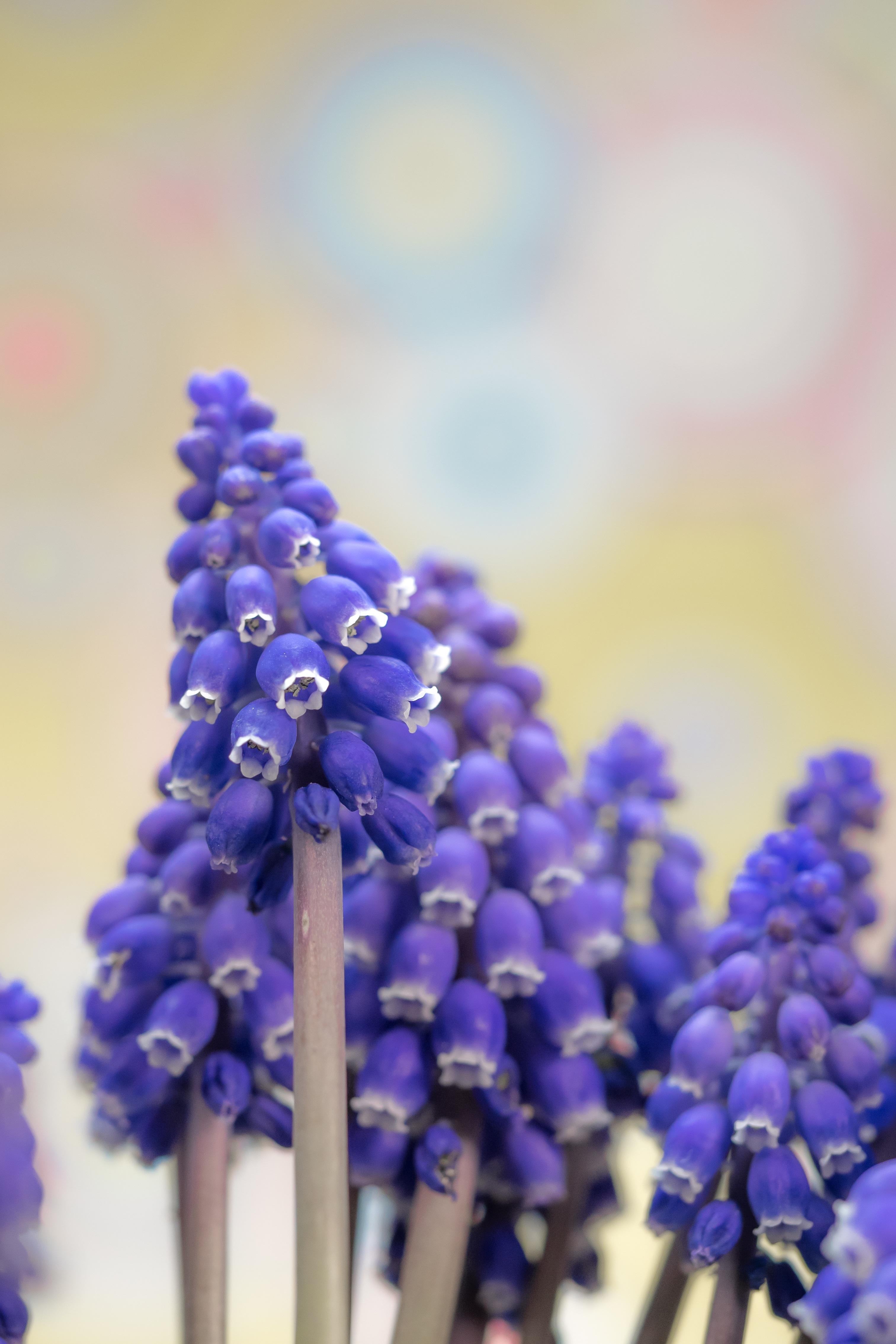 images gratuites fleur violet floraison cloche printemps couleur macro botanique bleu. Black Bedroom Furniture Sets. Home Design Ideas