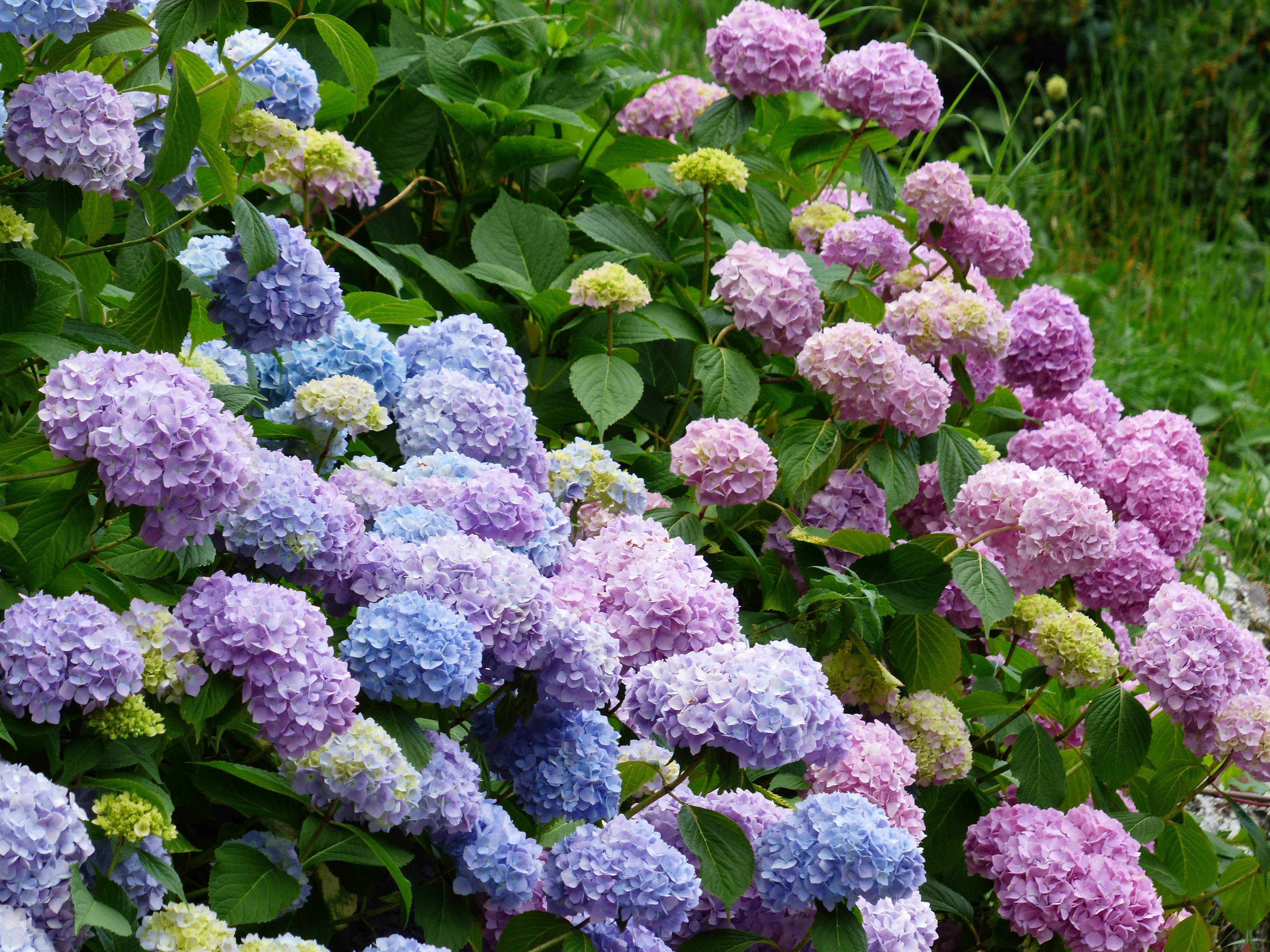 Free Images Blossom Flower Purple Bloom Bush Blue Pink