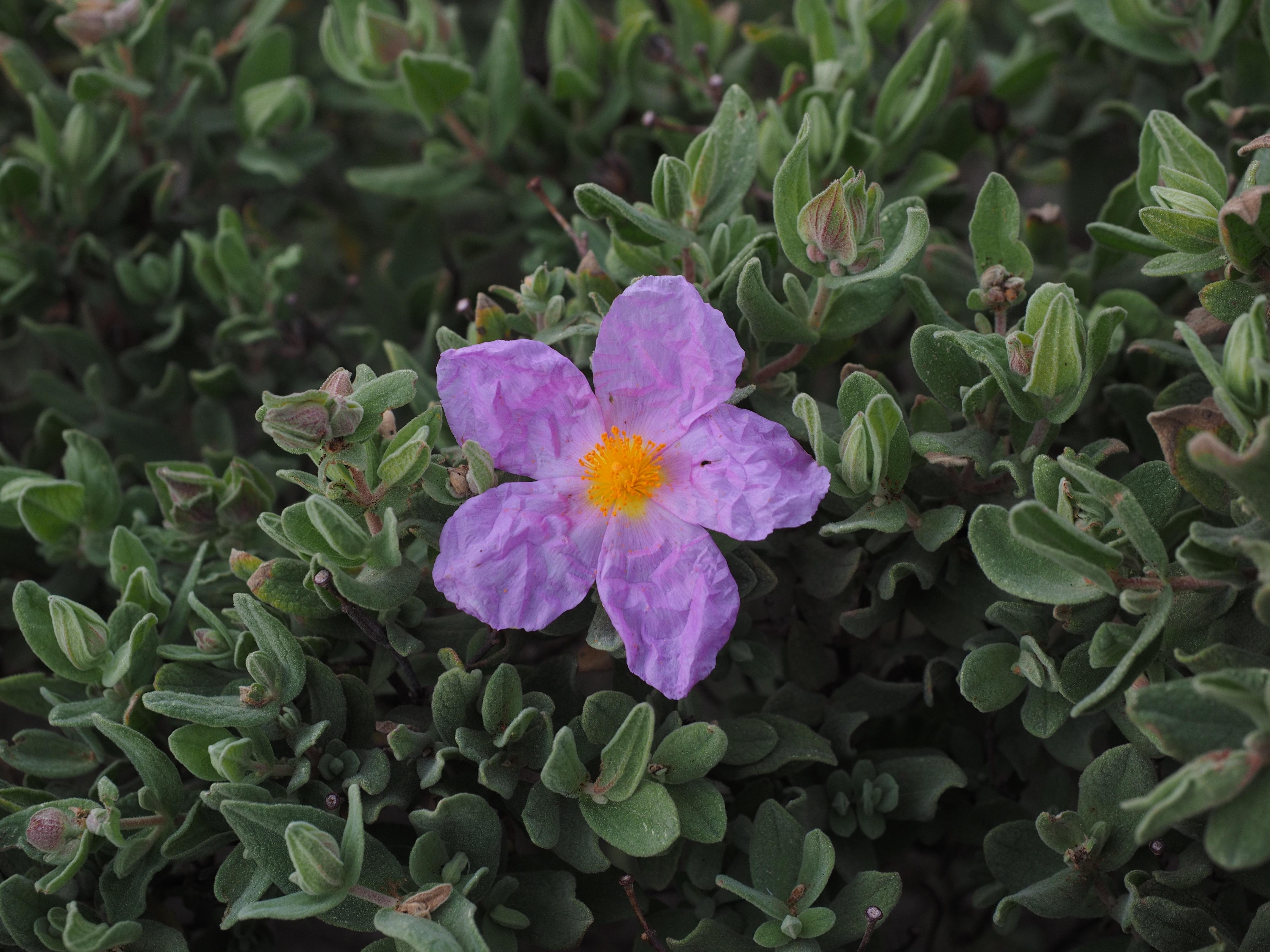 images gratuites : fleur, violet, floraison, méditerranéen
