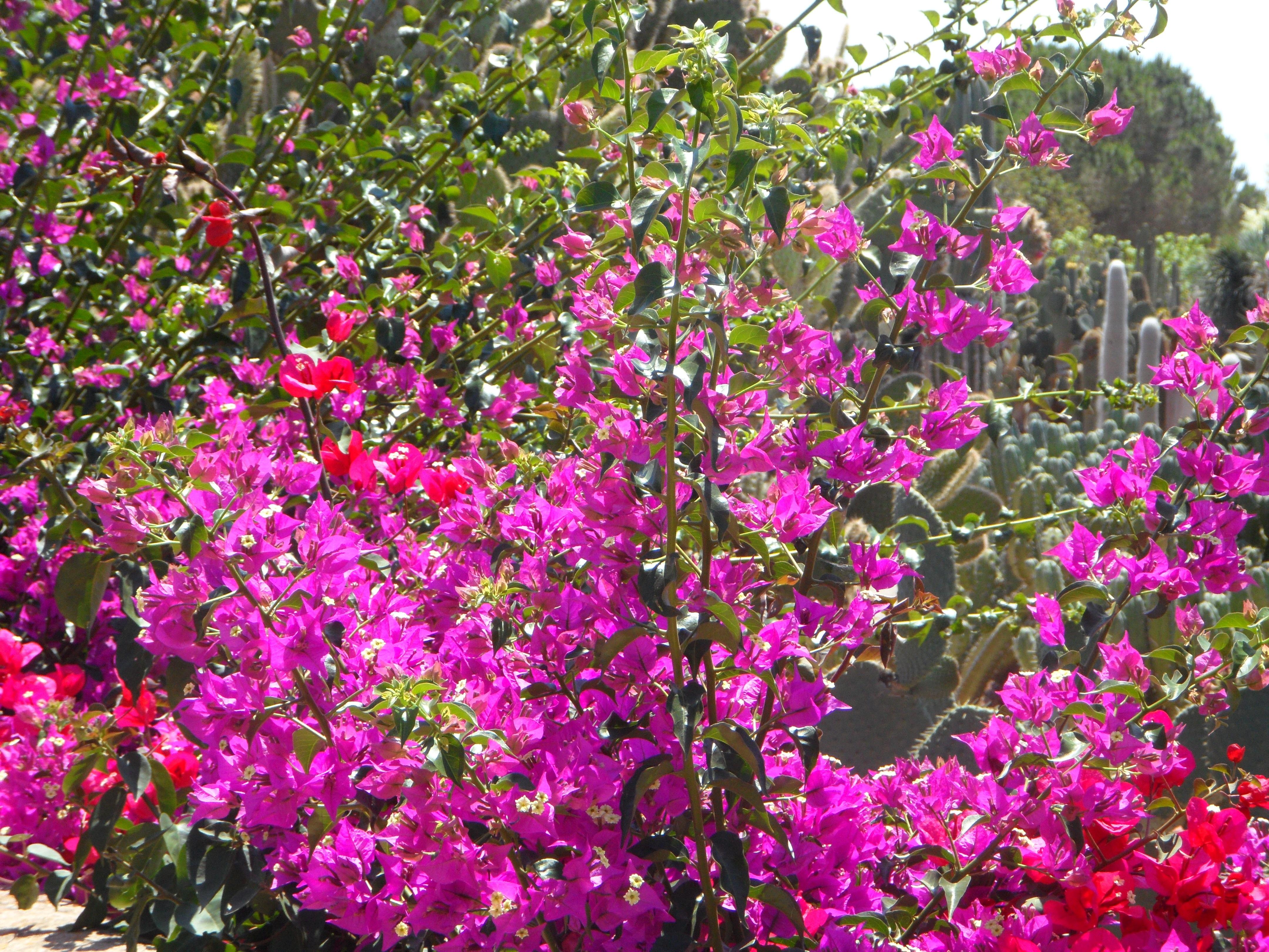 Fotos gratis p rpura florecer mediterr neo rojo for Arbol rojo jardin