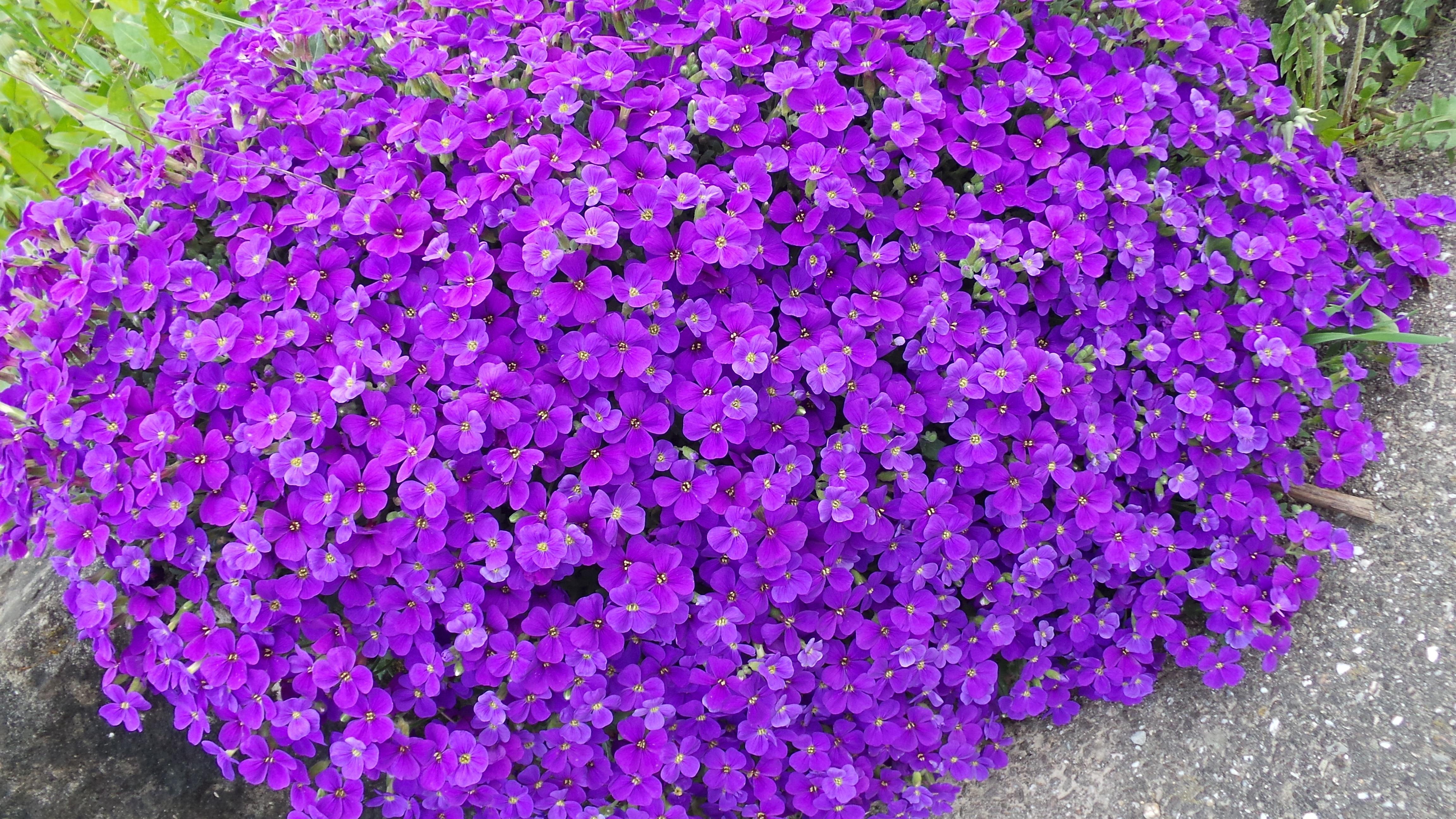 kostenlose foto bl hen blume lila fr hling schlie en strauch violett bodenbedeckung. Black Bedroom Furniture Sets. Home Design Ideas