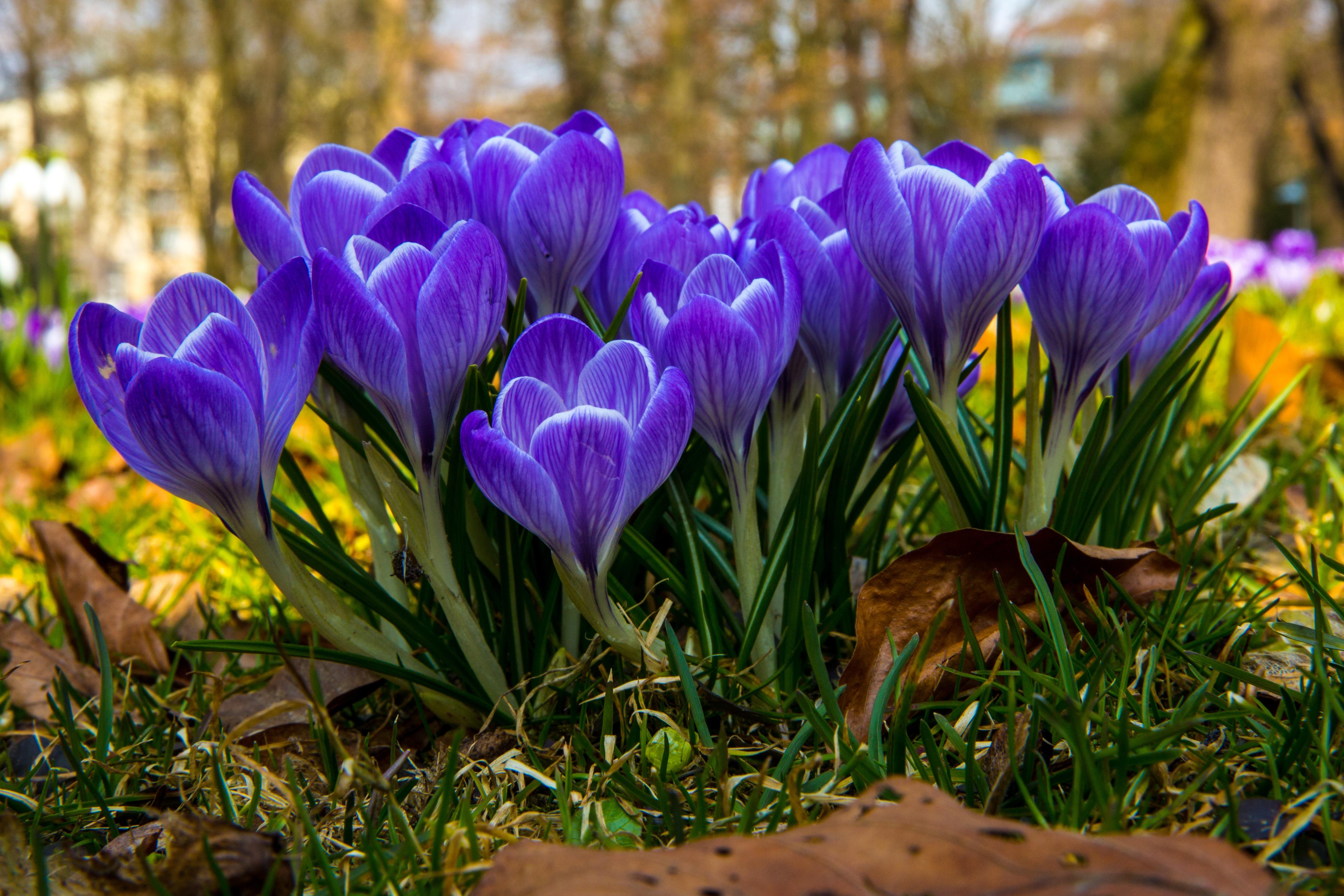 Gratis Billeder Lilla Flor For 229 R Parkere Botanik
