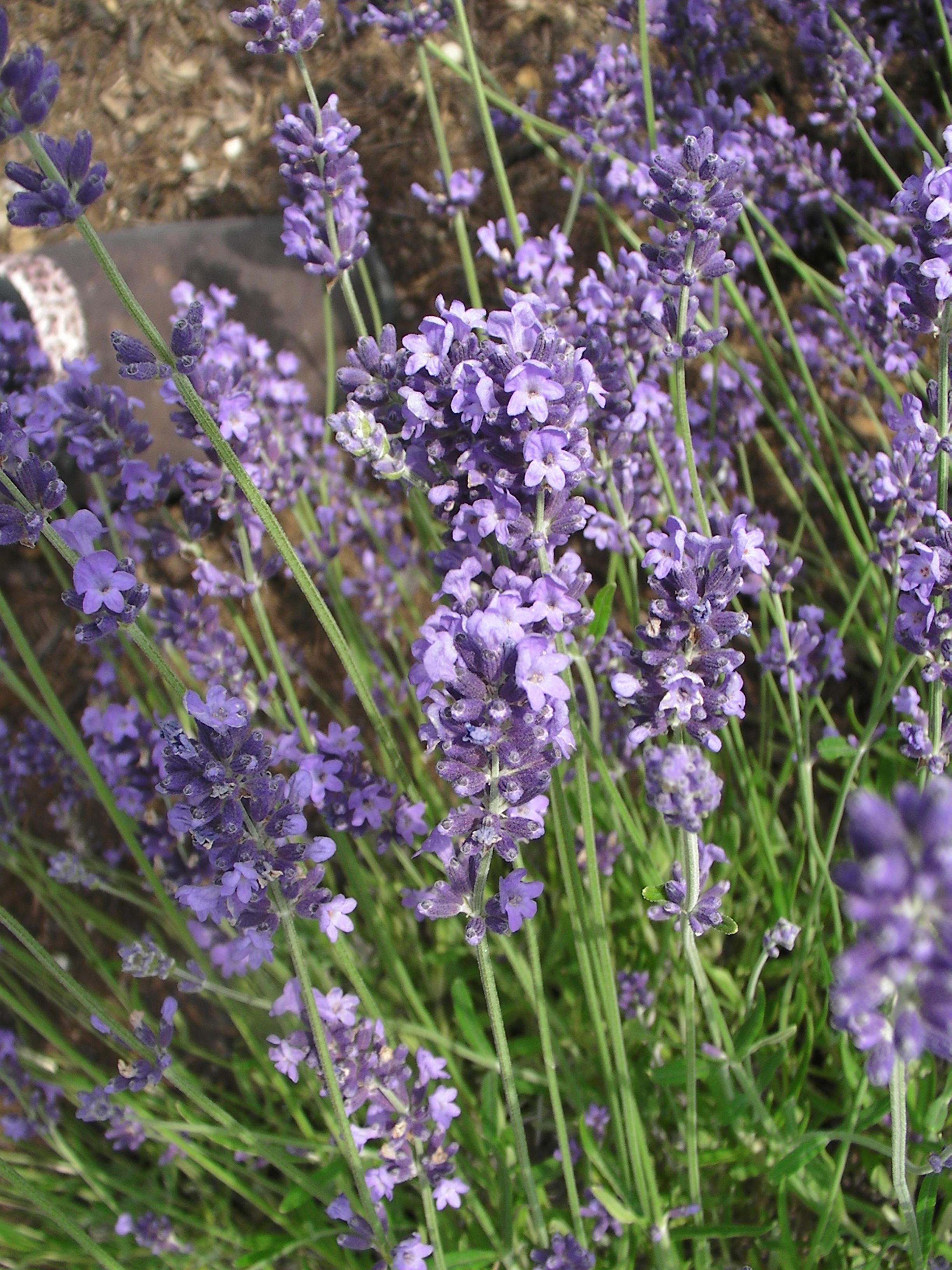 kostenlose foto bl hen blume lila sommer frankreich kraut blumen violett geruch. Black Bedroom Furniture Sets. Home Design Ideas