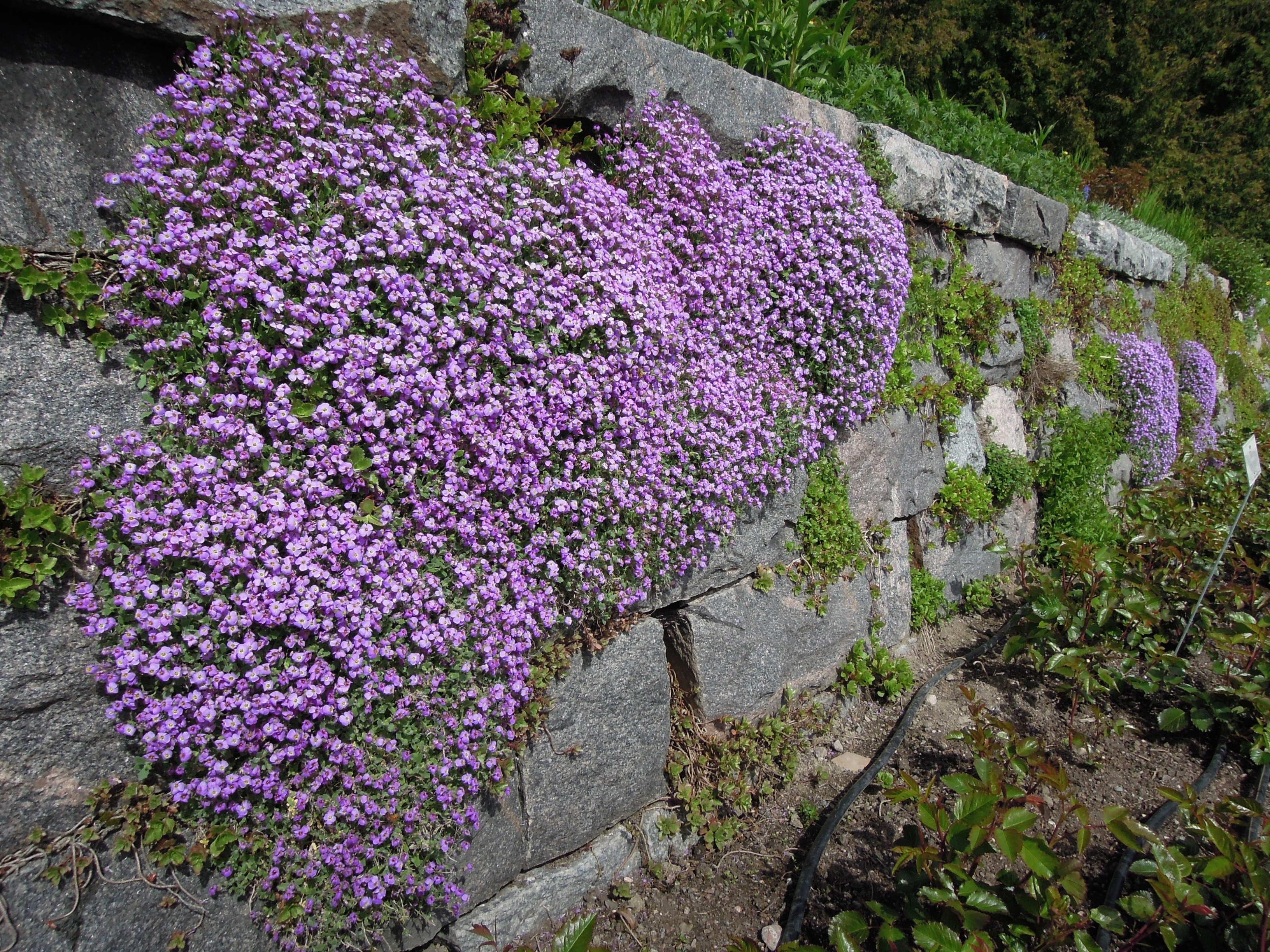 kostenlose foto bl hen blume lila alt mauer botanik garten flora wildblume strauch. Black Bedroom Furniture Sets. Home Design Ideas