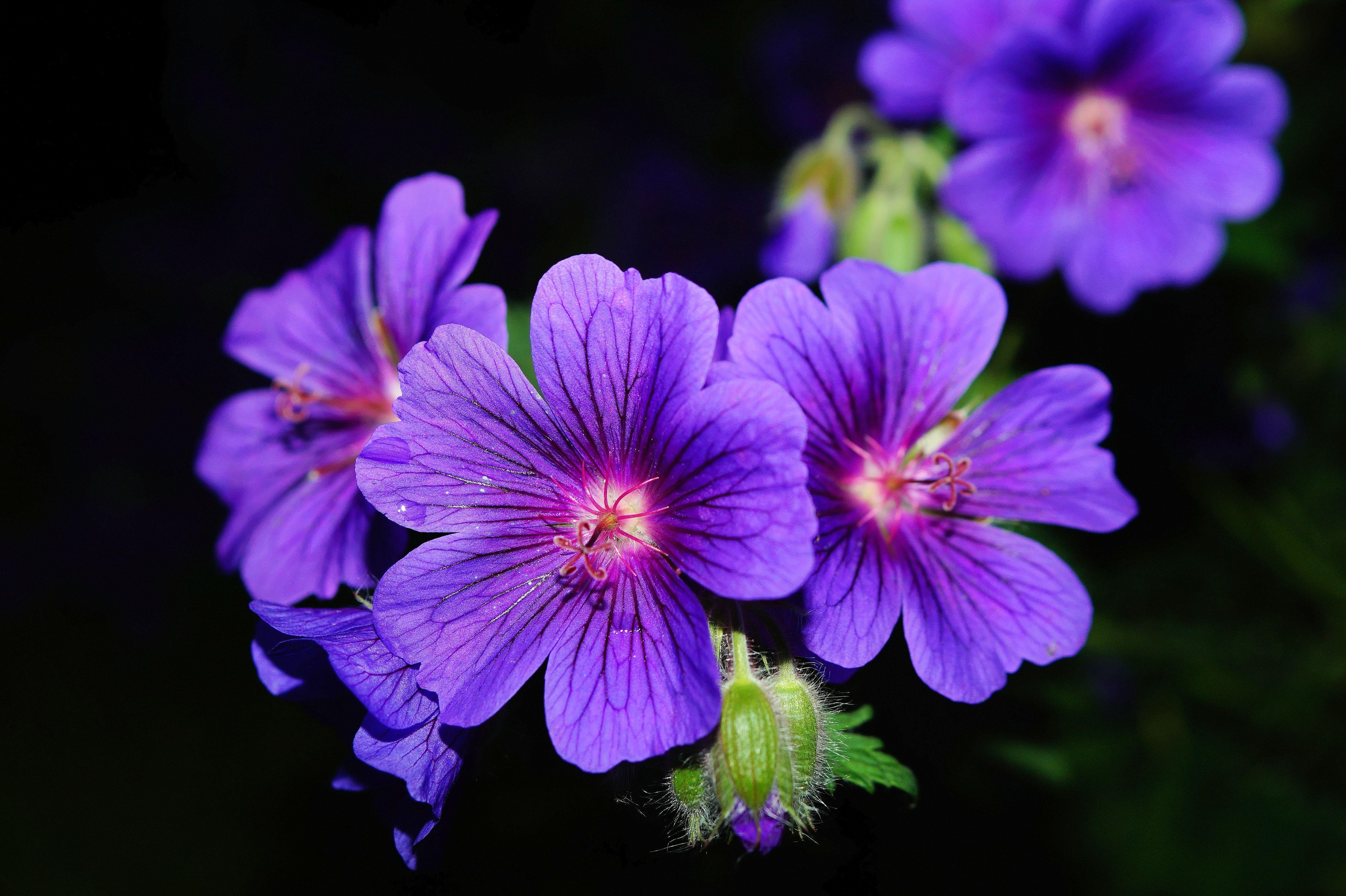 Free blossom purple petal bloom atmosphere blue flora wildflo