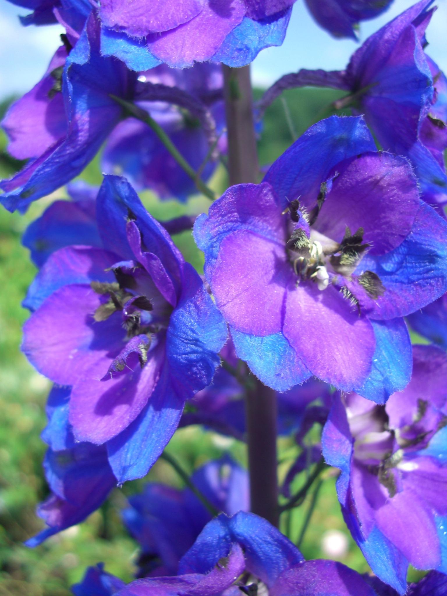 Цветы сине-фиолетовые