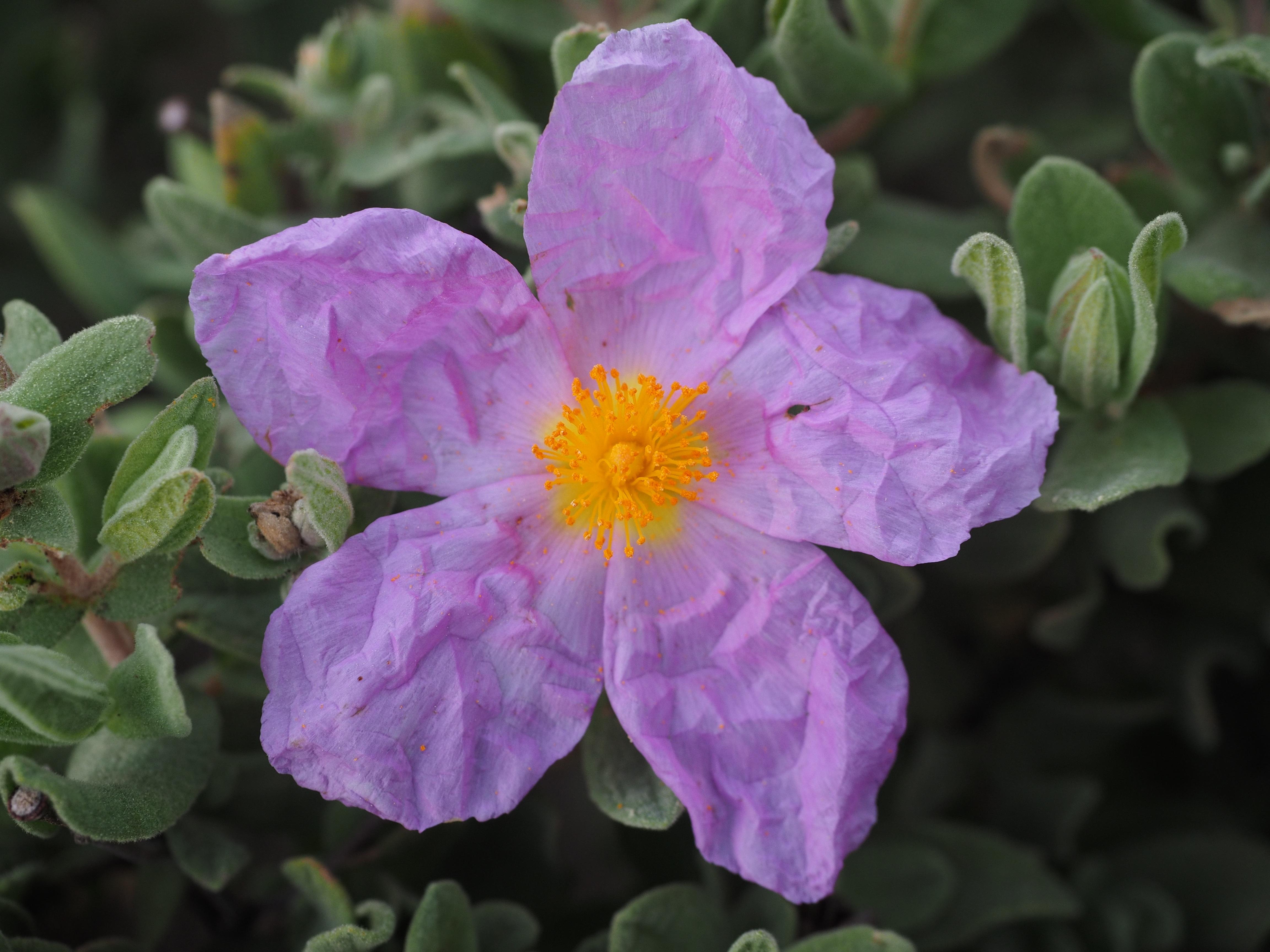 images gratuites : fleur, violet, pétale, floraison, rose