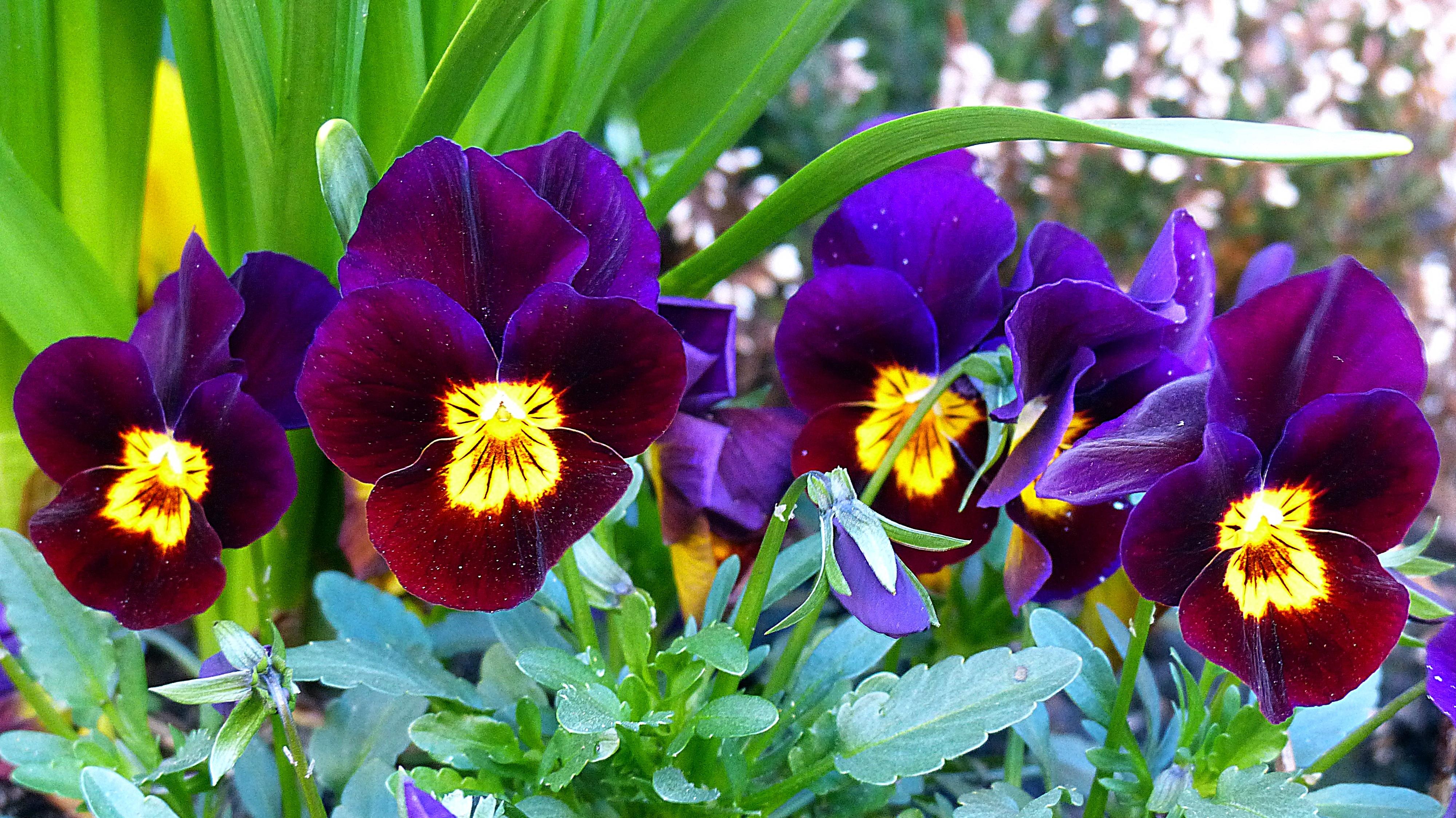 Images gratuites fleur violet p tale floraison printemps bleu flore fleur sauvage - Image fleur violette gratuite ...