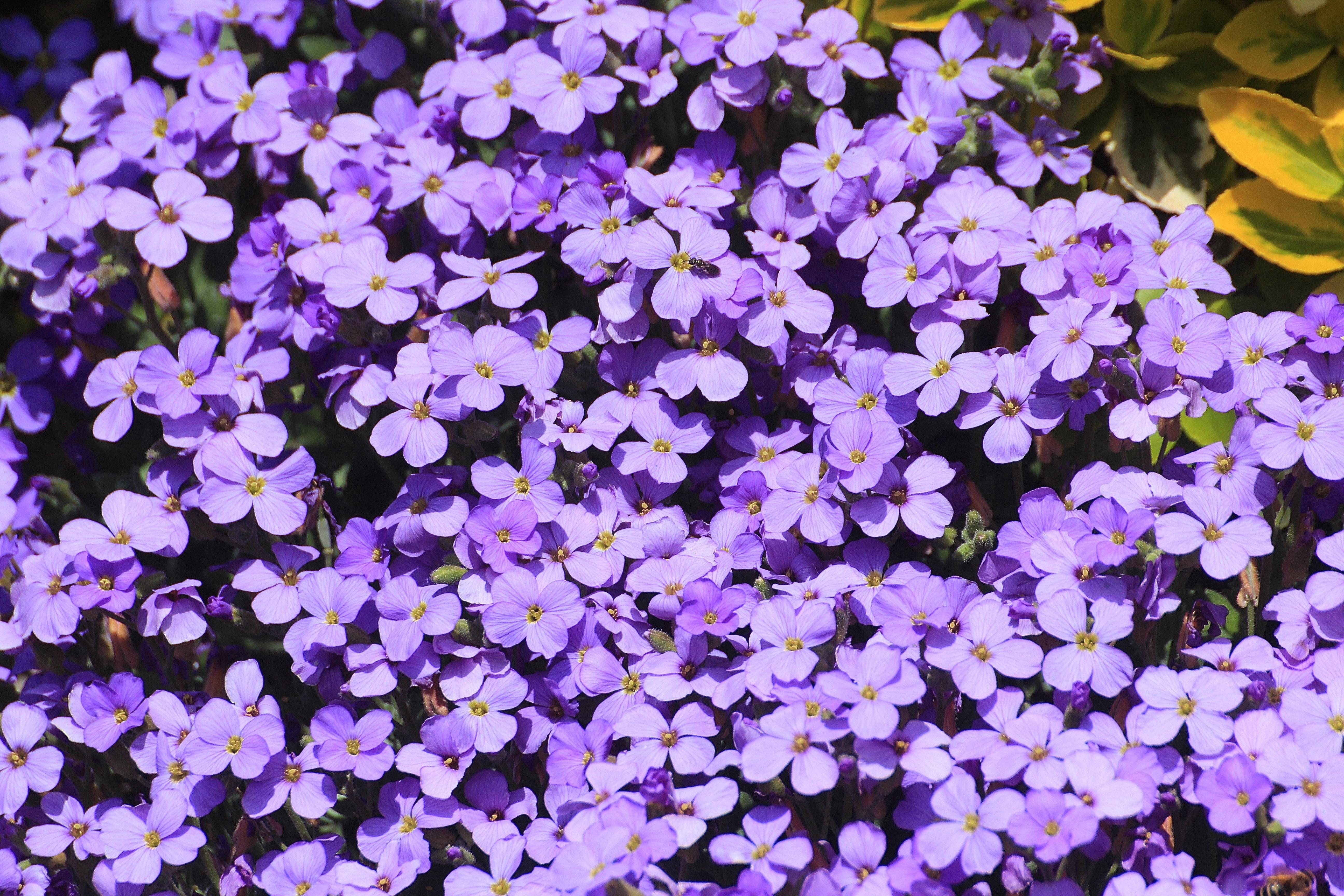 kostenlose foto bl hen lila bl tenblatt fr hling botanik flora violett sch n kurz. Black Bedroom Furniture Sets. Home Design Ideas