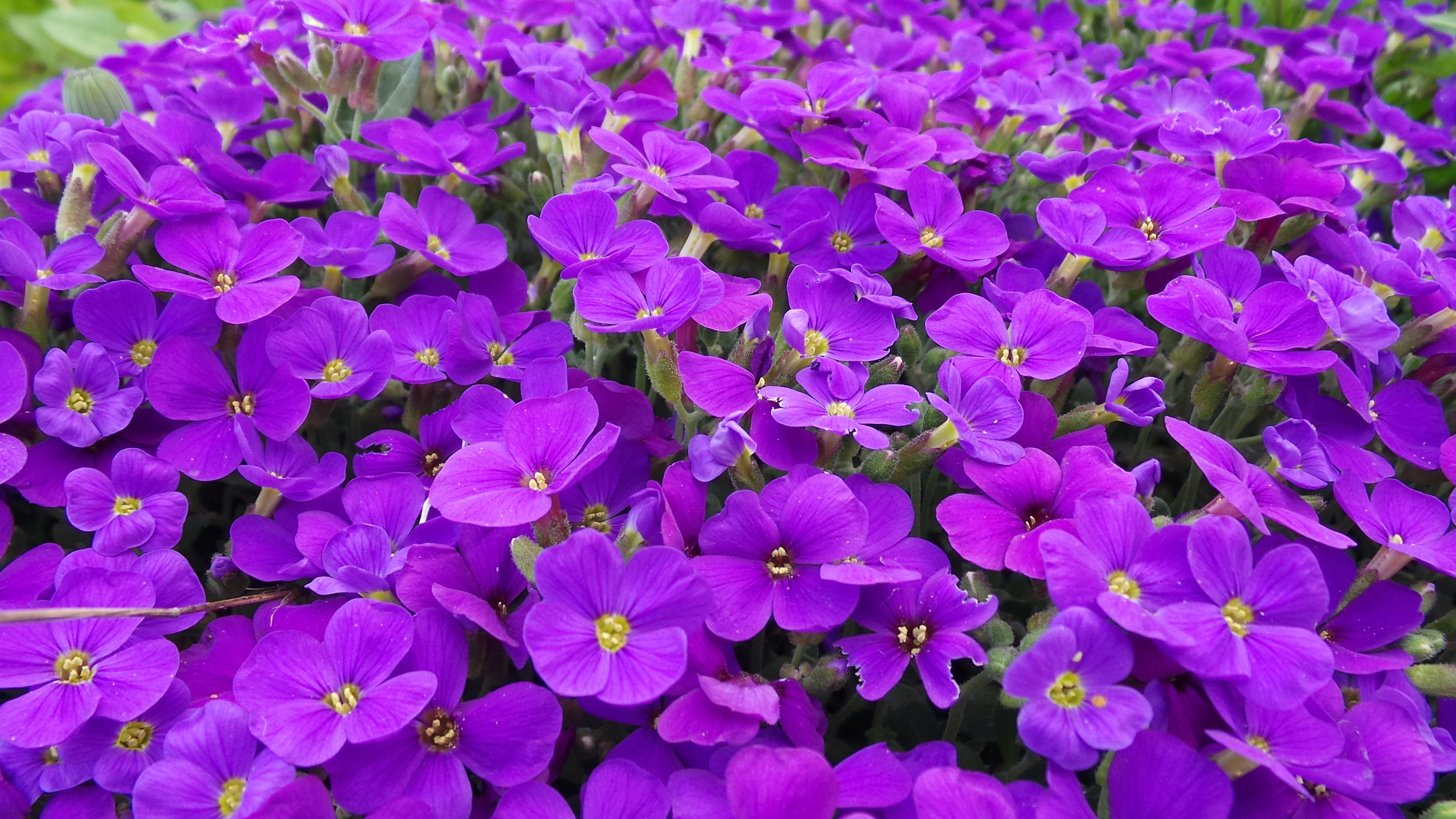 kostenlose foto bl hen lila bl tenblatt fr hling schlie en flora wildblume violett. Black Bedroom Furniture Sets. Home Design Ideas