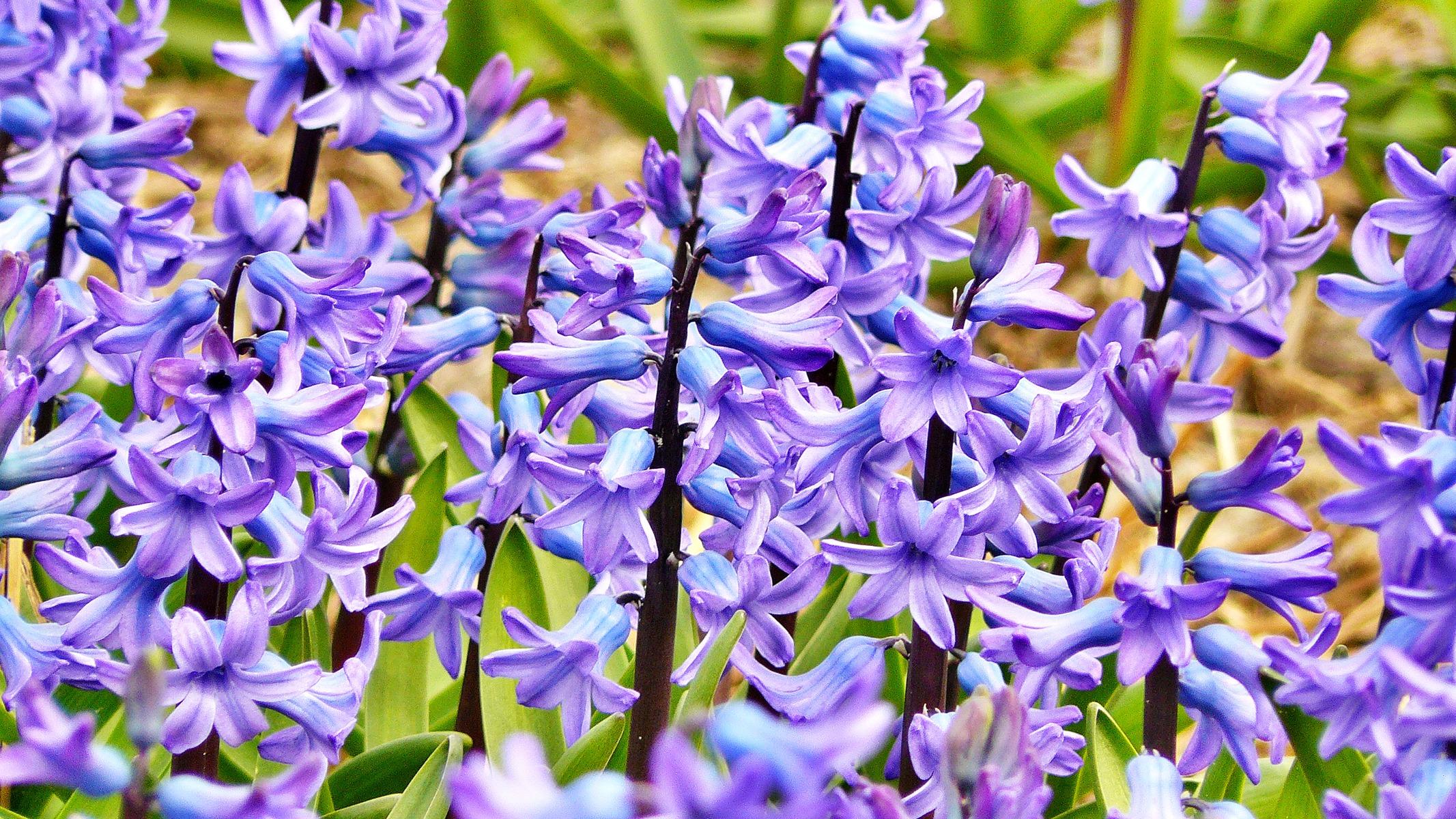 Poze Plantă Floare Violet Petală A Inflori Arc Verde