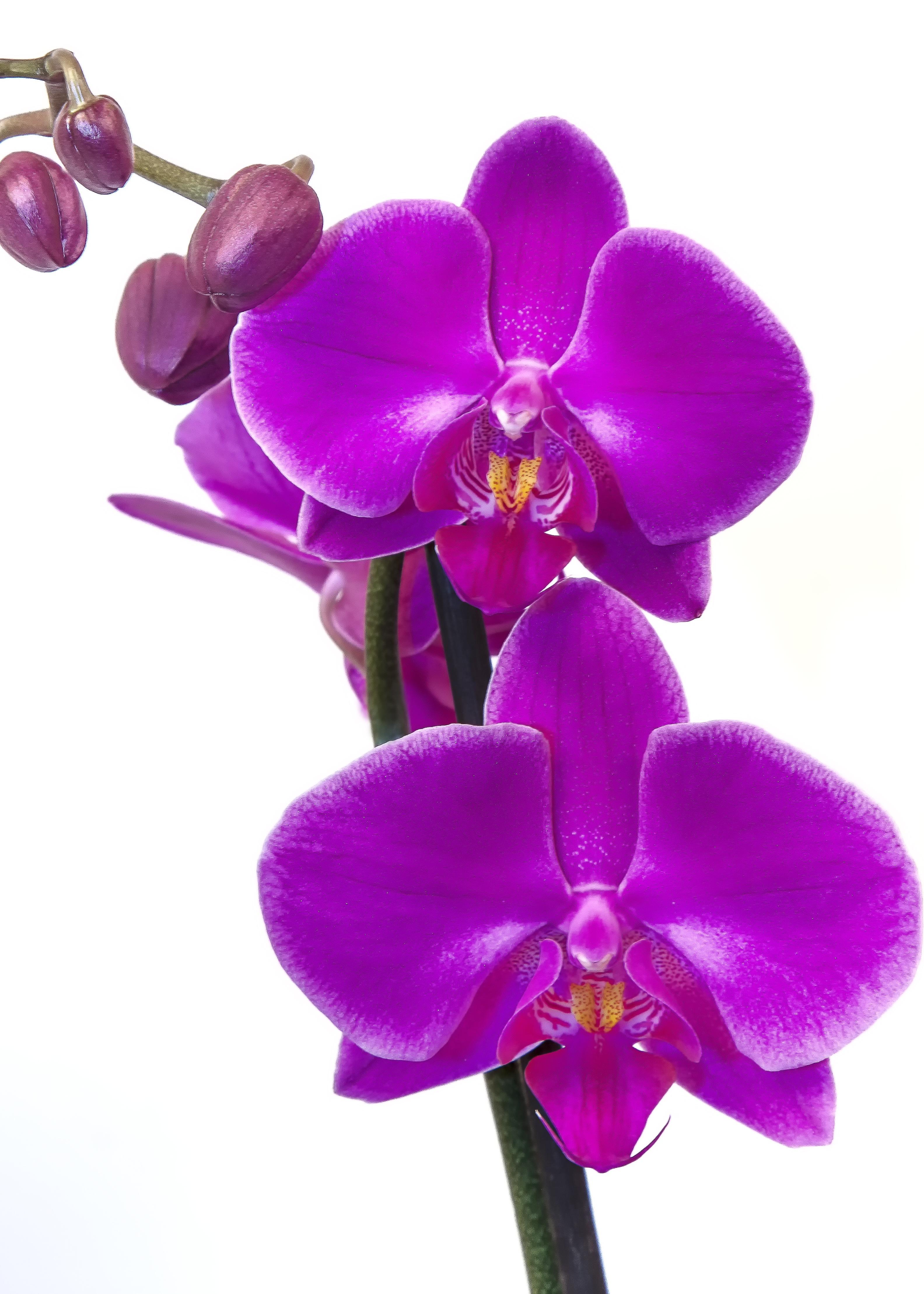Free Images Blossom Flower Purple Petal Bloom Tropical Pink