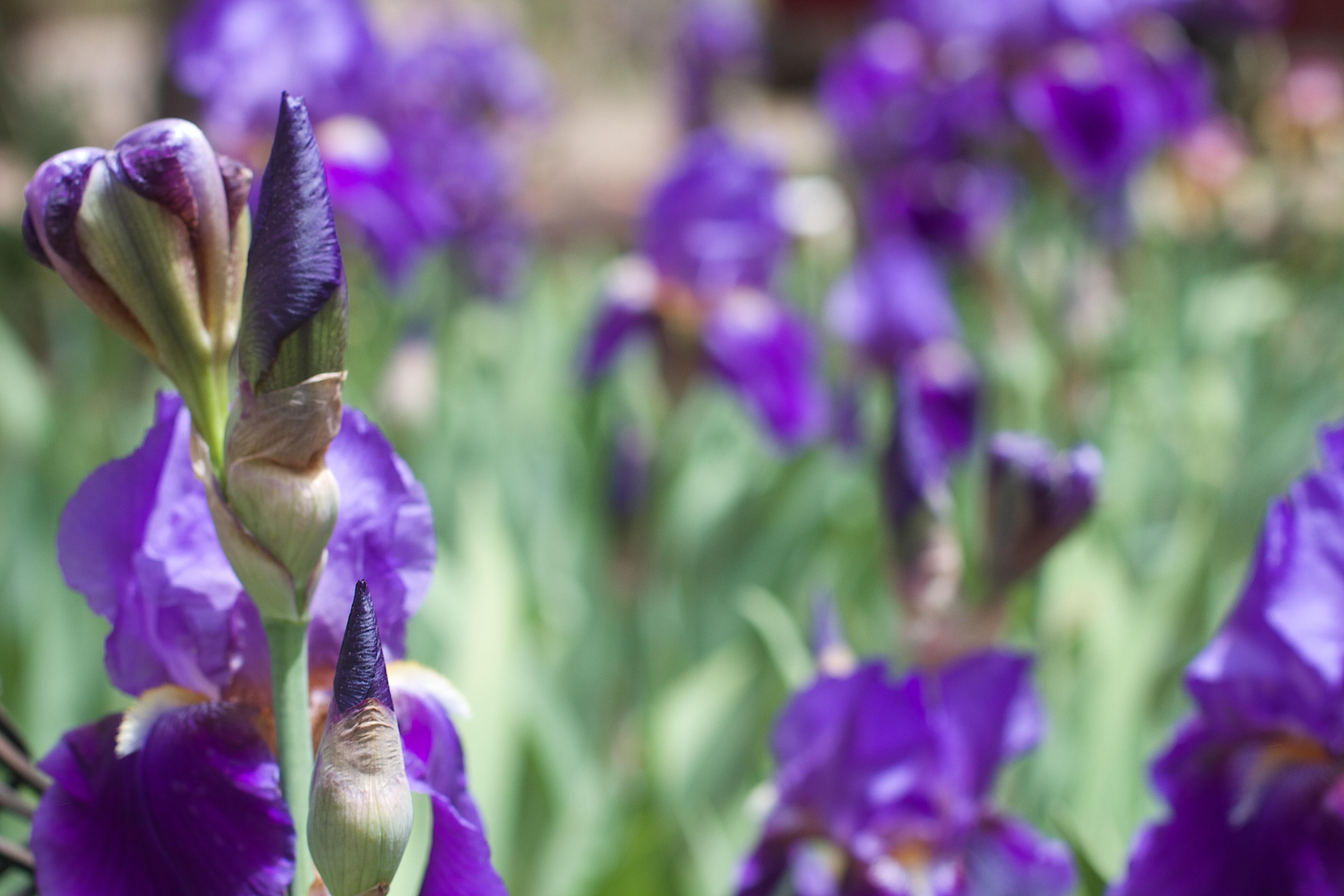 รูปภาพ ปลูก สีม่วง กลีบดอกไม้ พฤกษศาสตร์ ดอกไม้ป่า