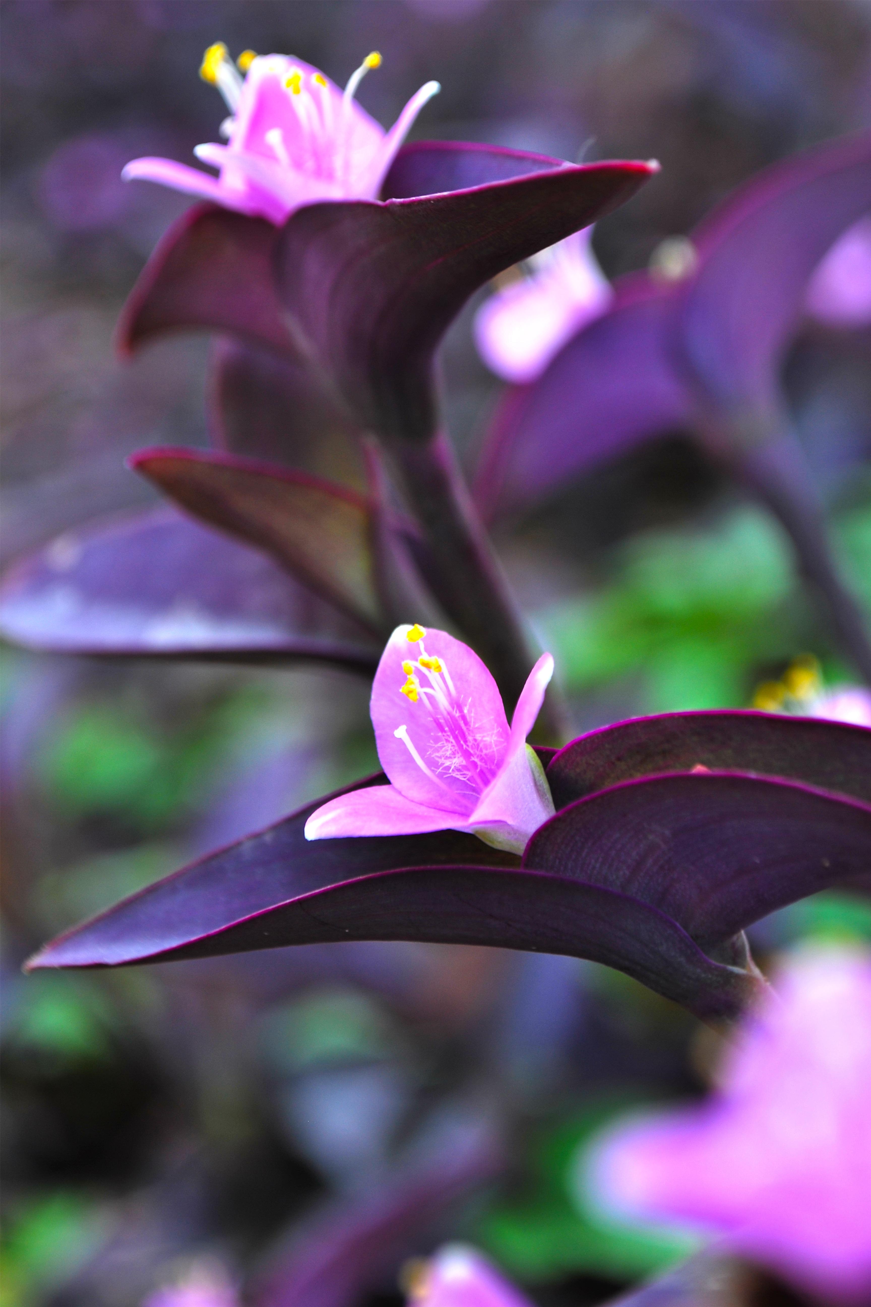 Dendrobium orchid plant