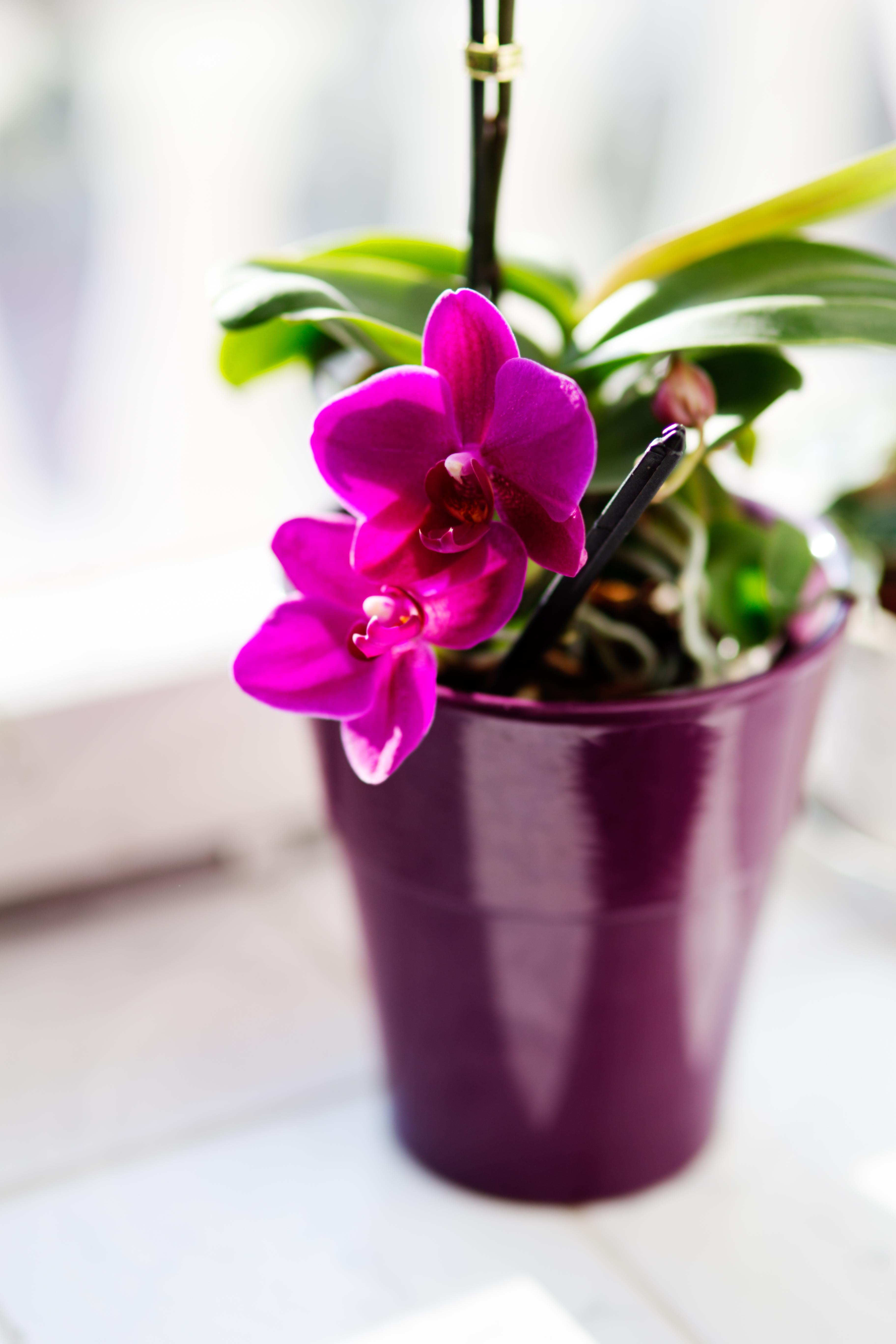 Картинки цветы комнатные орхидеи