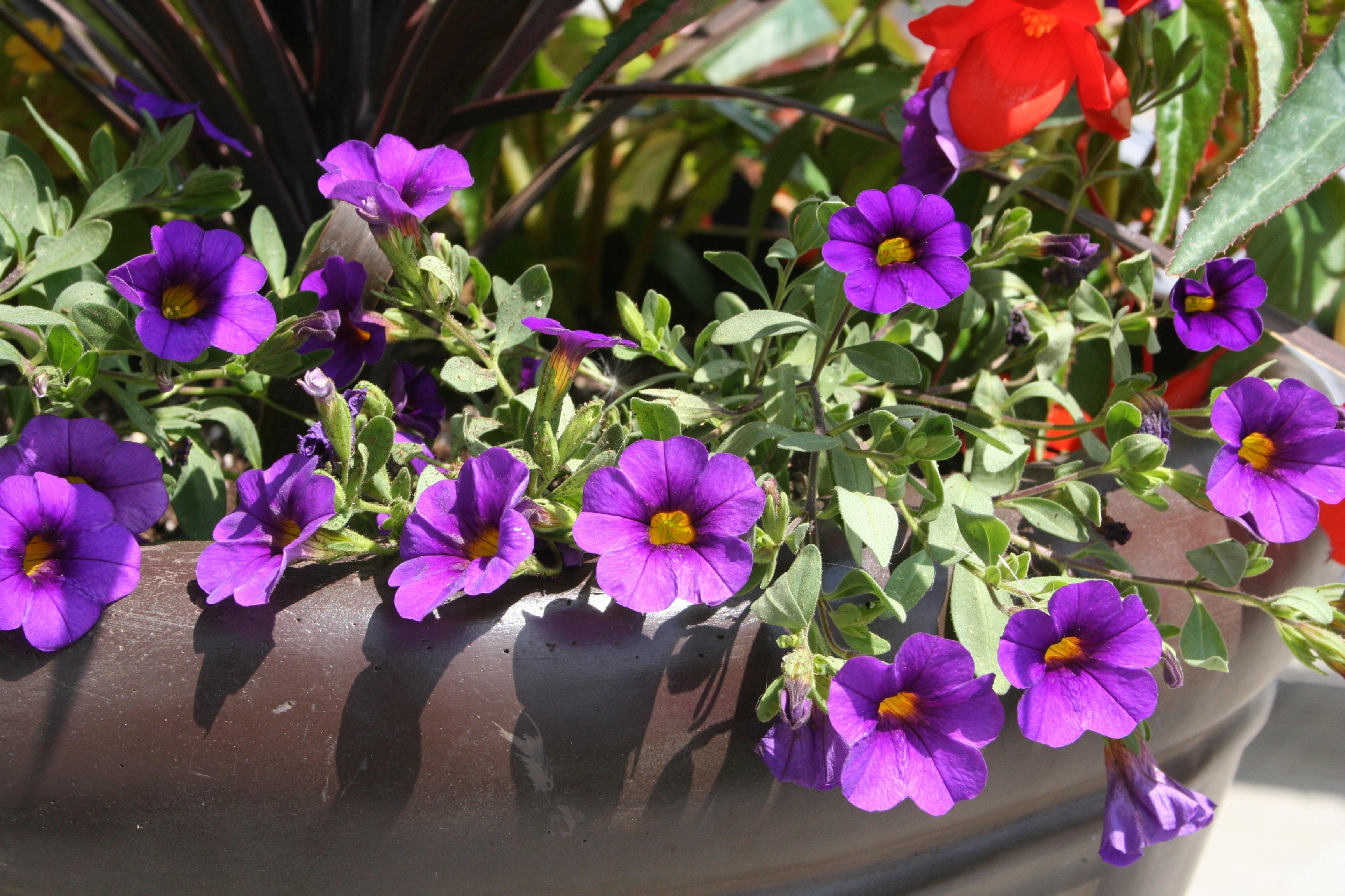 Fotos gratis prpura ptalo maceta botnica decoracin flora