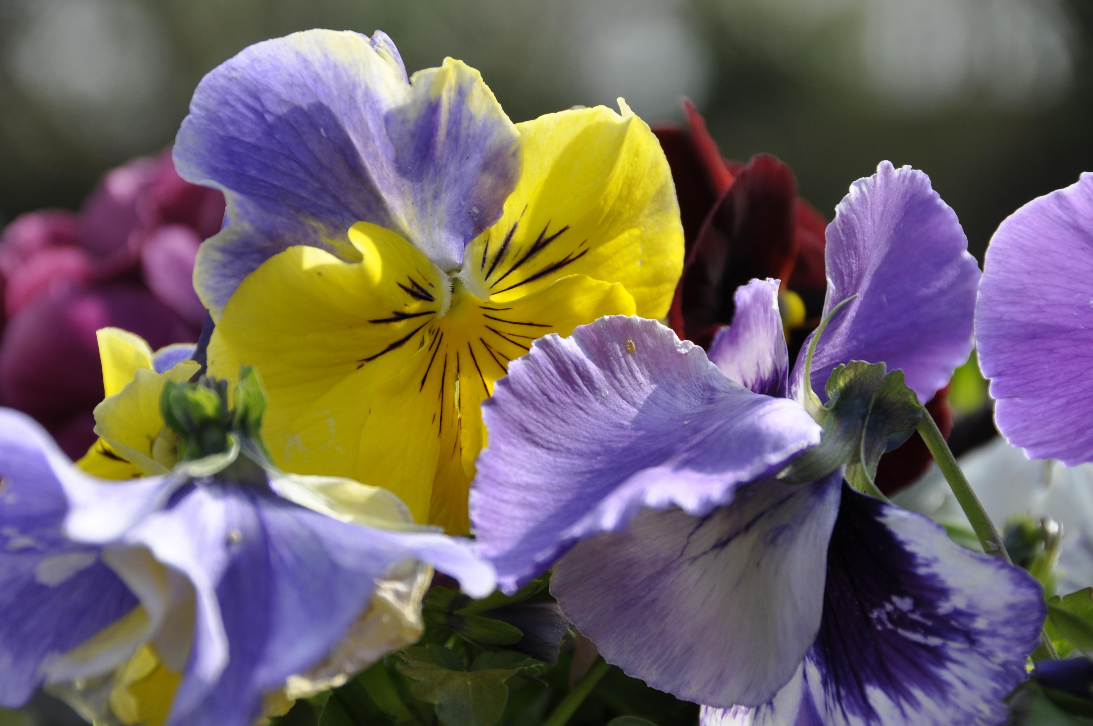 Images gratuites fleur violet p tale printemps botanique jaune flore fleur sauvage - Image fleur violette gratuite ...