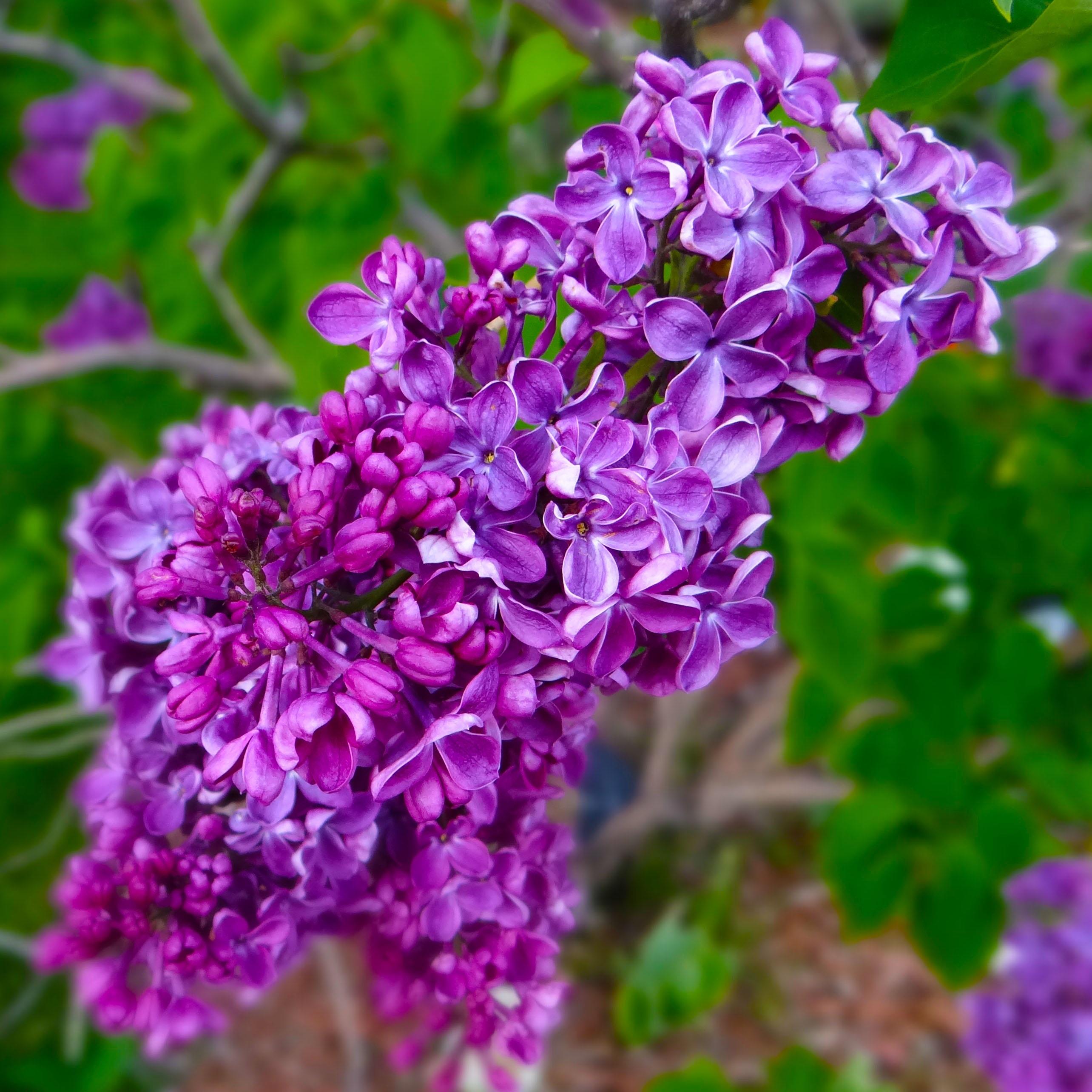 images gratuites fleur violet printemps herbe botanique jardin flore fleur sauvage. Black Bedroom Furniture Sets. Home Design Ideas