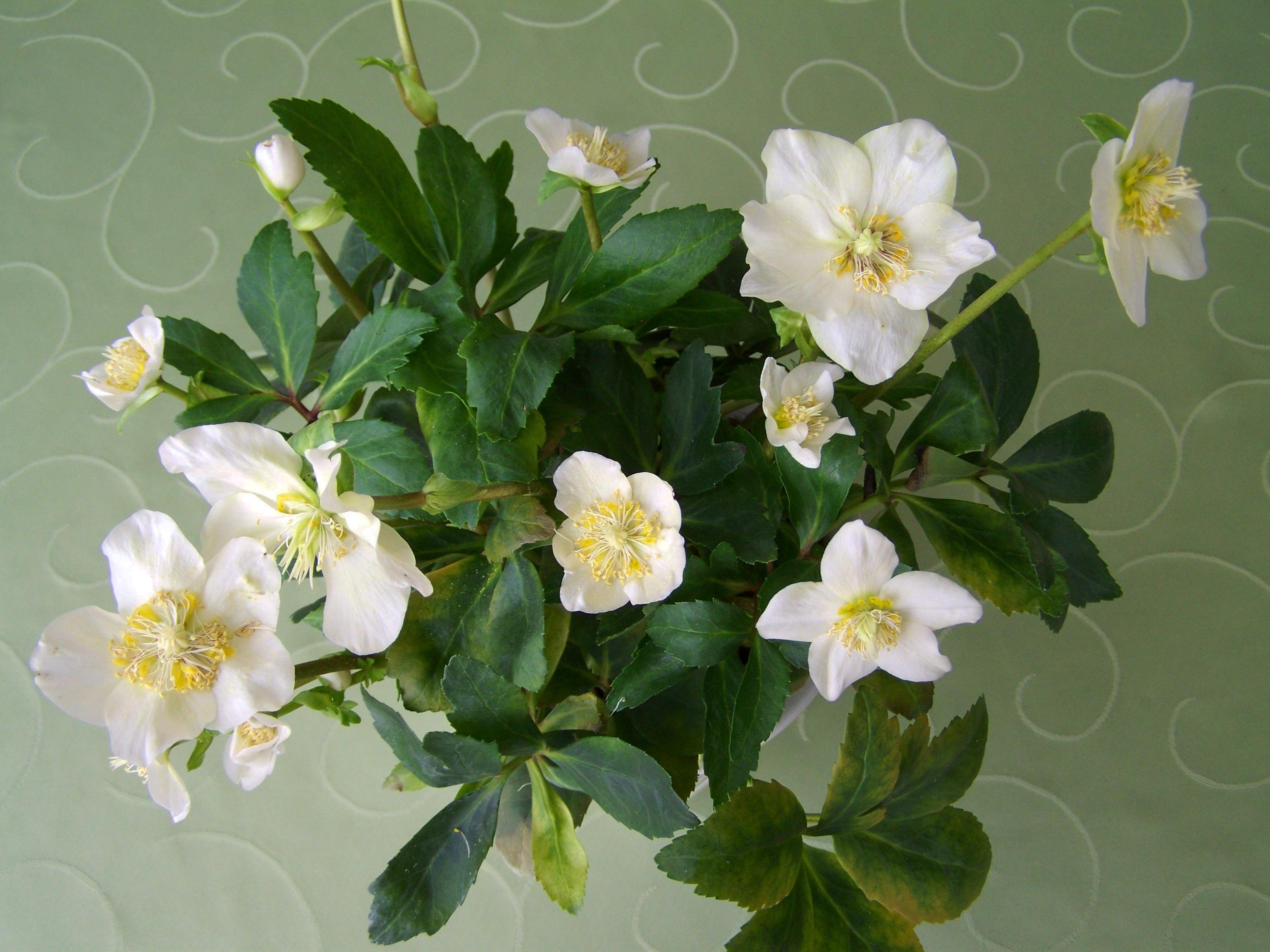 Images Gratuites Botanique Flore Fleur Blanche Arbuste