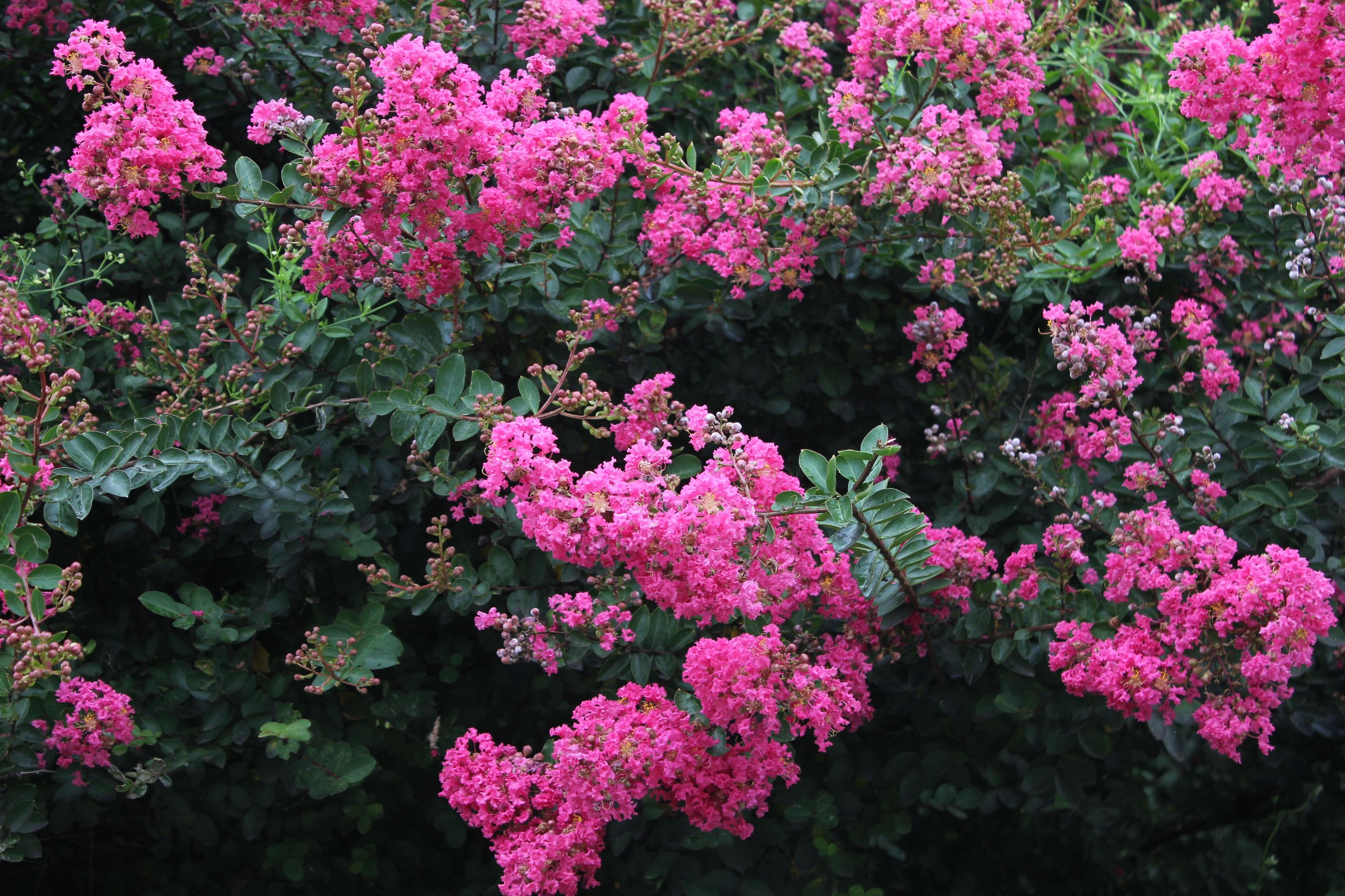 она была куст розовые цветы фото меховом салоне ульяновска
