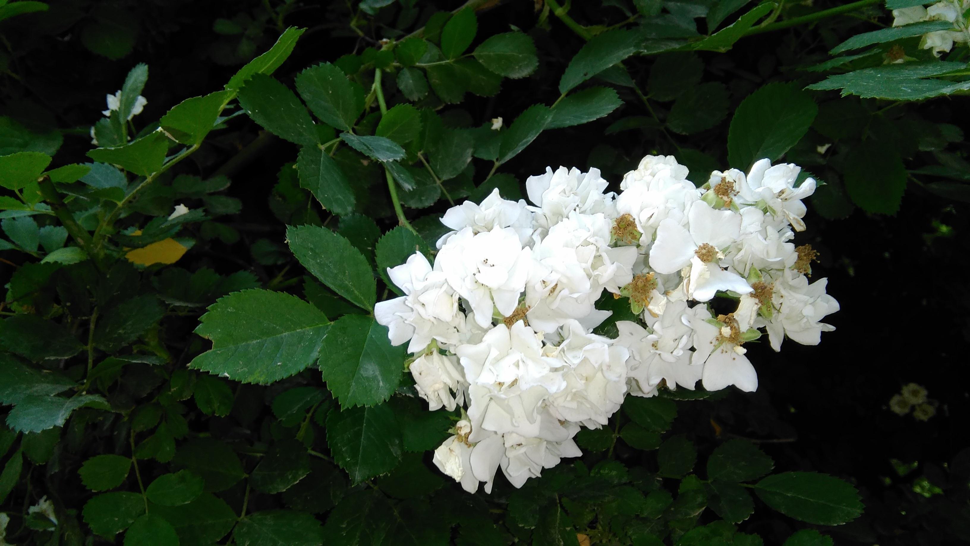 Free Images Blossom Botany Garden Flora White Flower Shrub