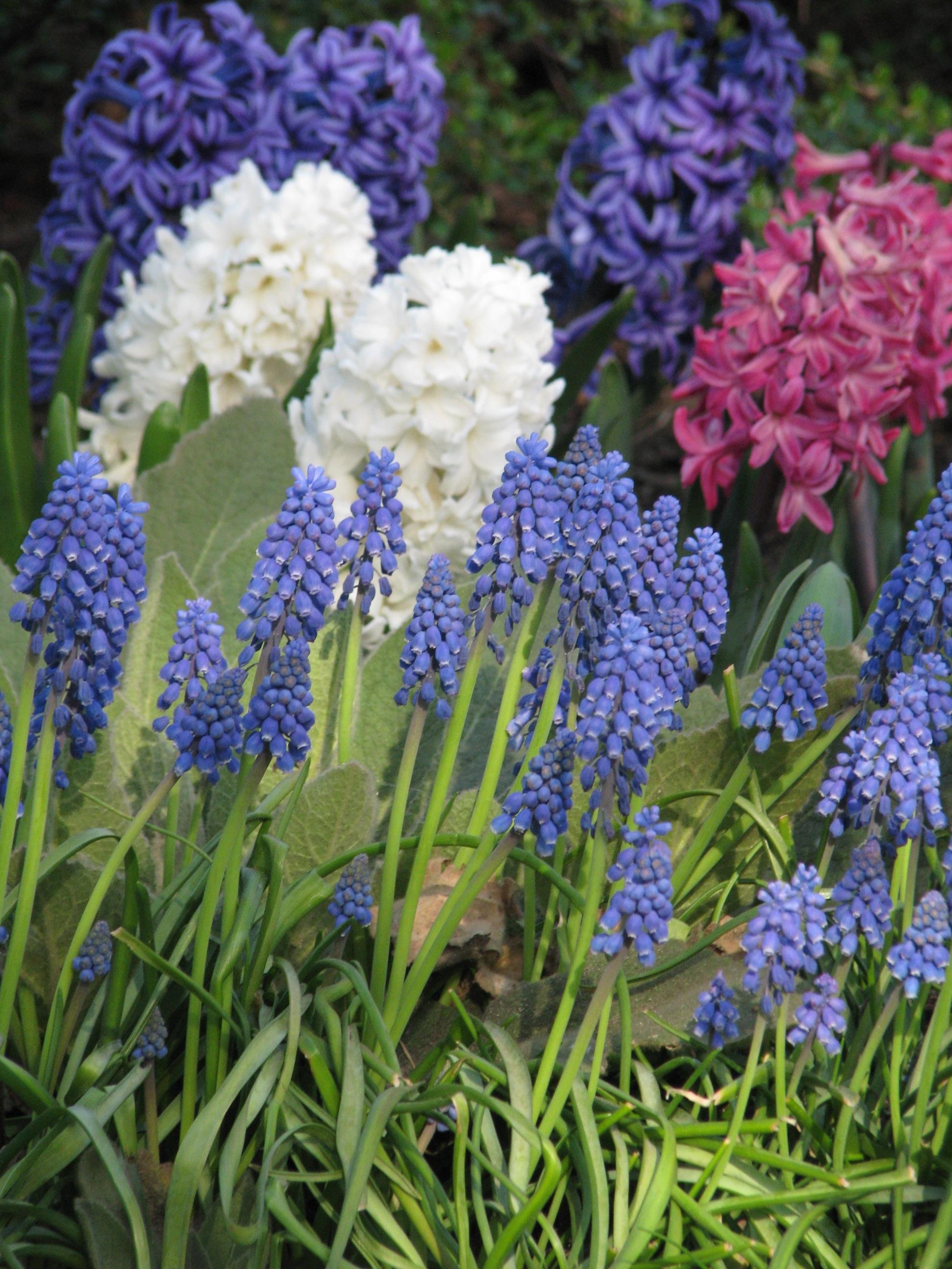 images gratuites fleur printemps botanique bleu color lavande ampoules saisonnier. Black Bedroom Furniture Sets. Home Design Ideas