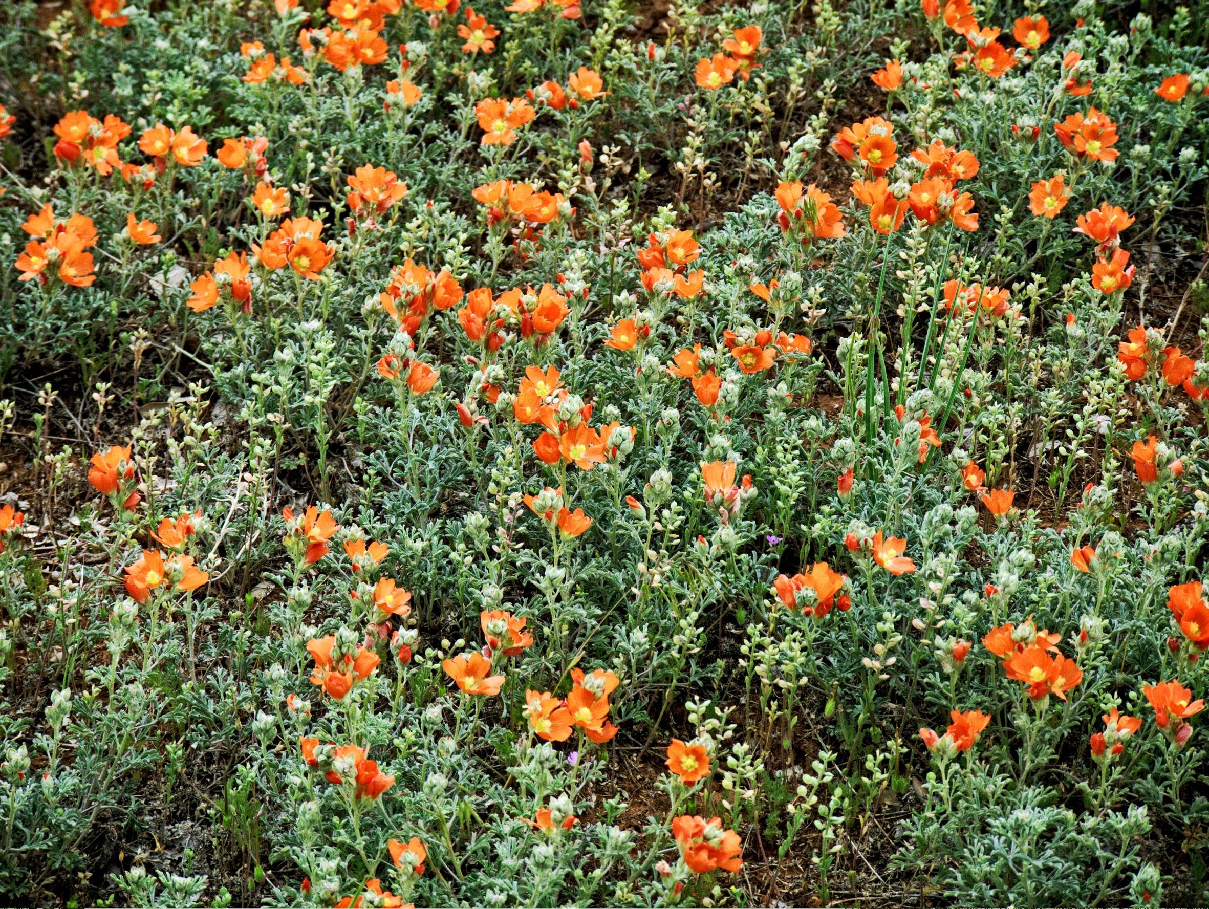 Free Images Blossom Flower Summer Floral Orange Spring Herb