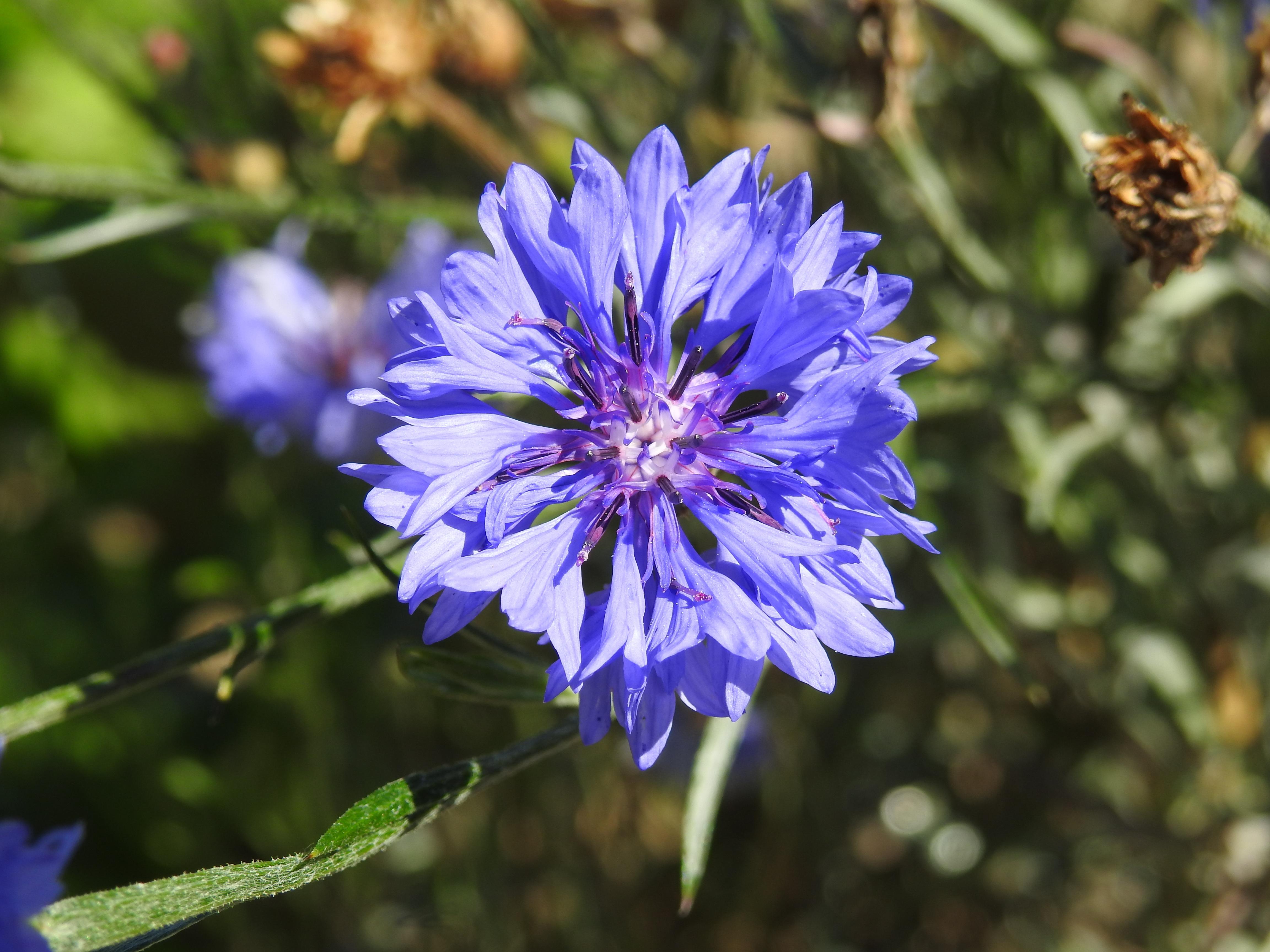 Cornflowers - güzel bir bitki