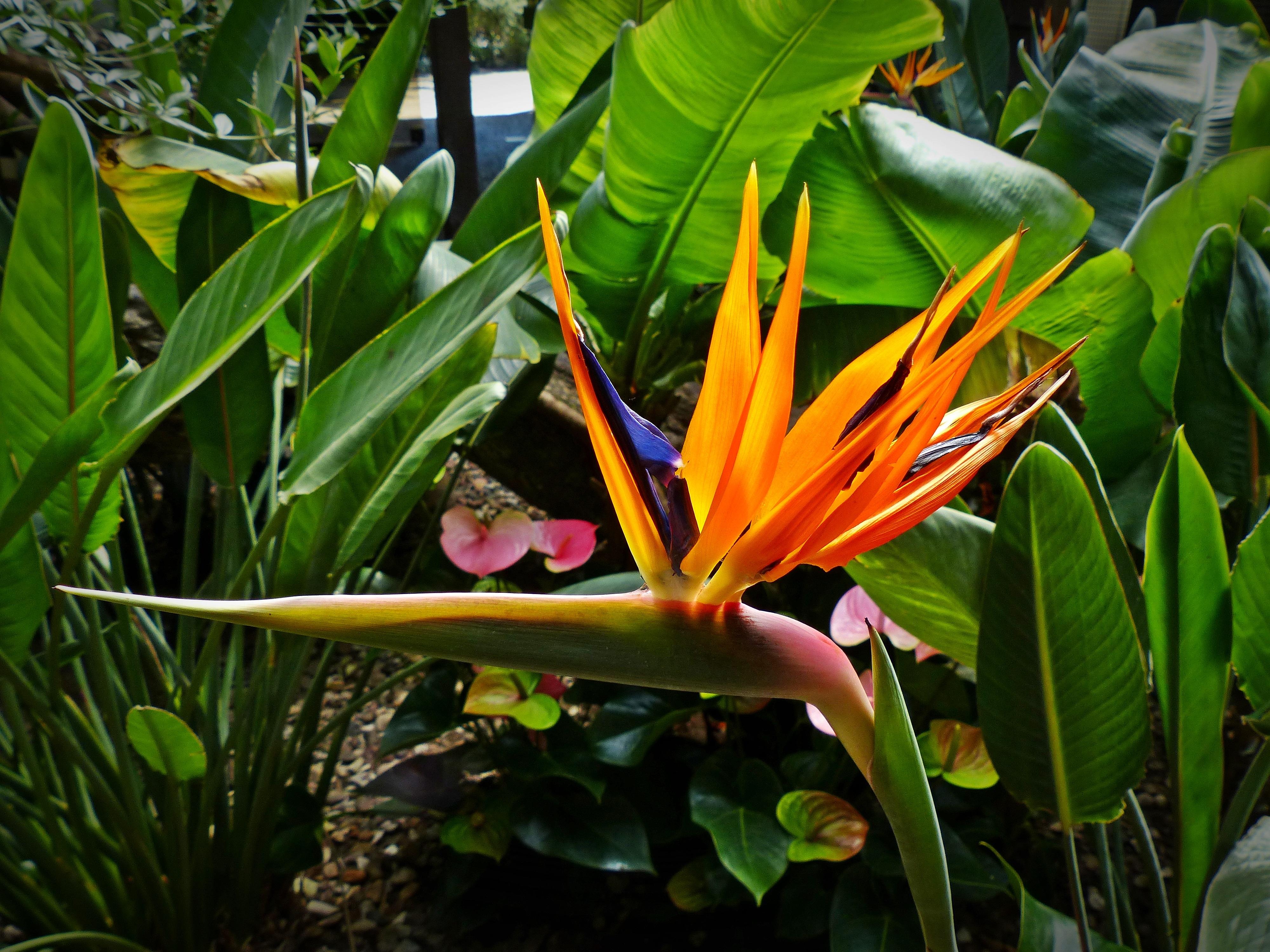 plante exotique heliconia
