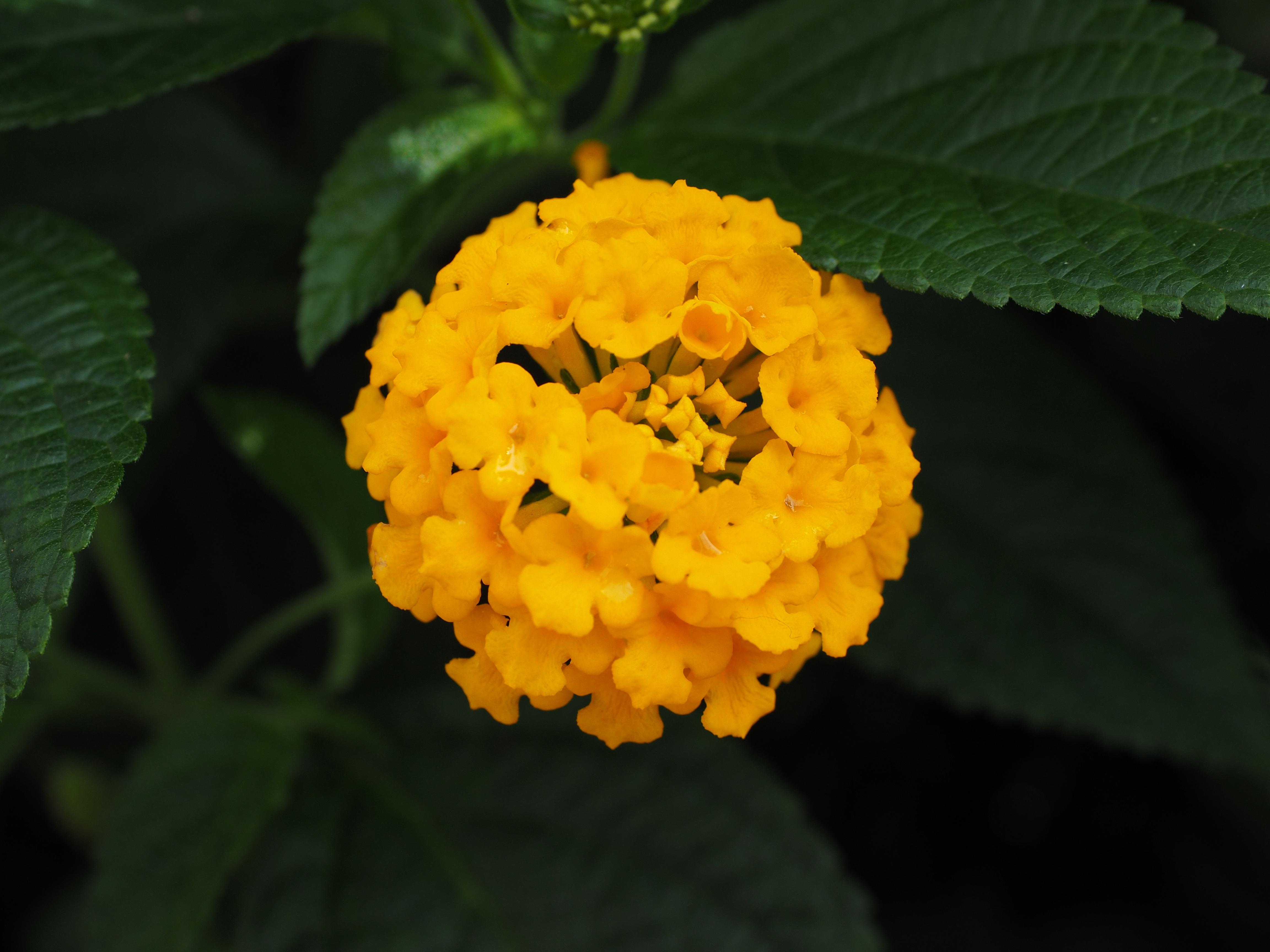 Images Gratuites : fleur, feuille, Floraison, produire, botanique ...