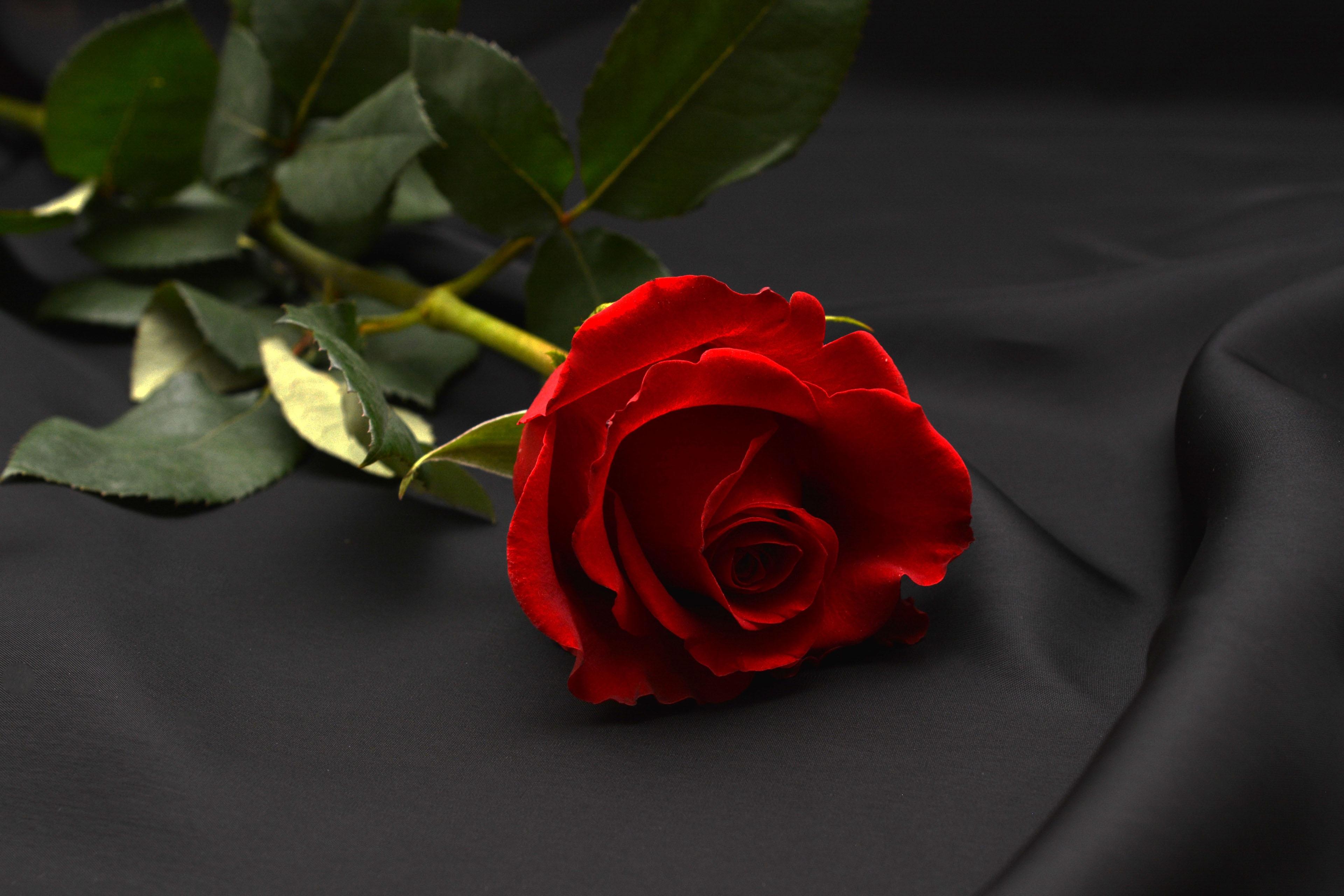 несколько версий две красные розы картинки душе мексиканские блюда