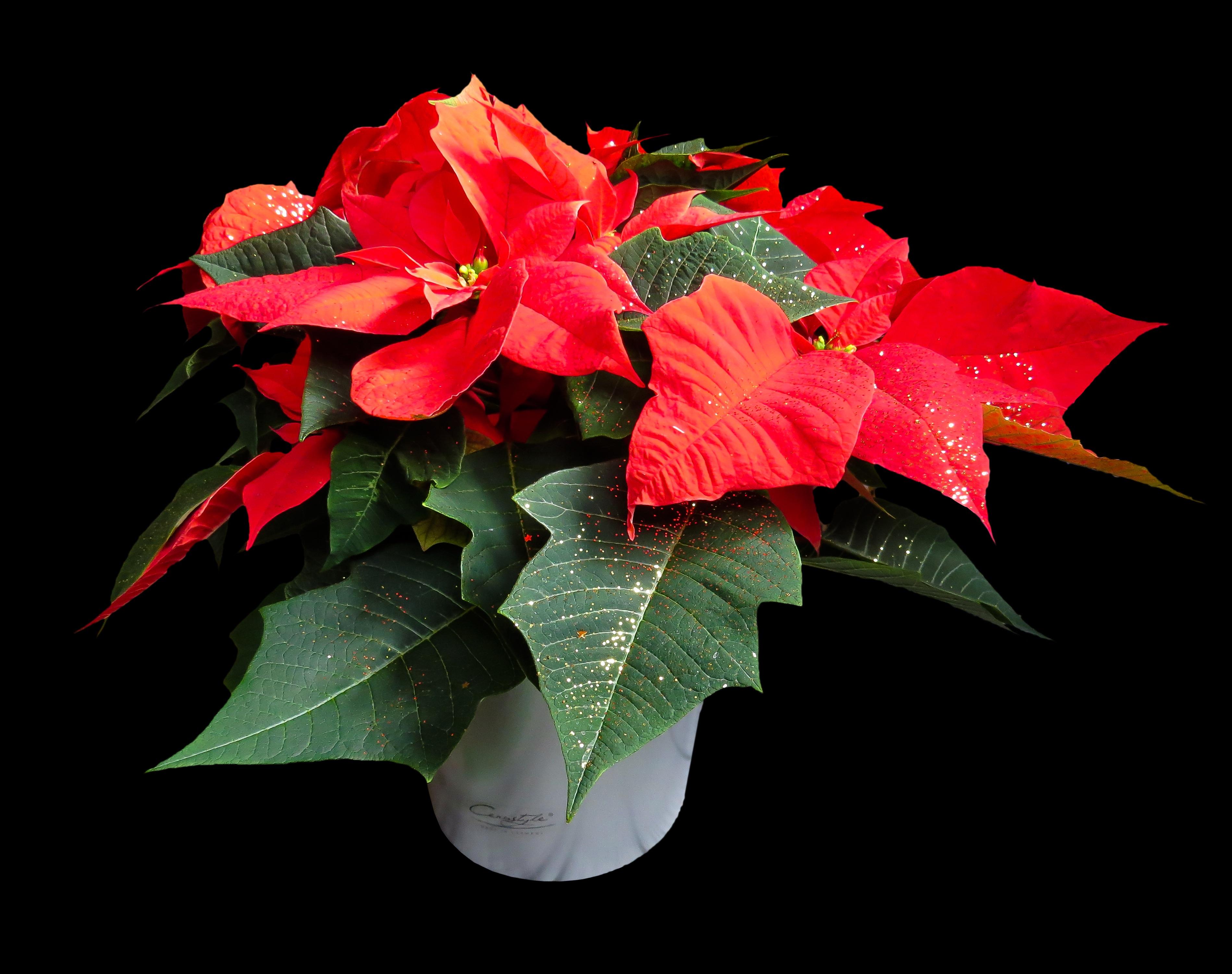 Images gratuites feuille p tale floraison no l flore for Plante noel rouge