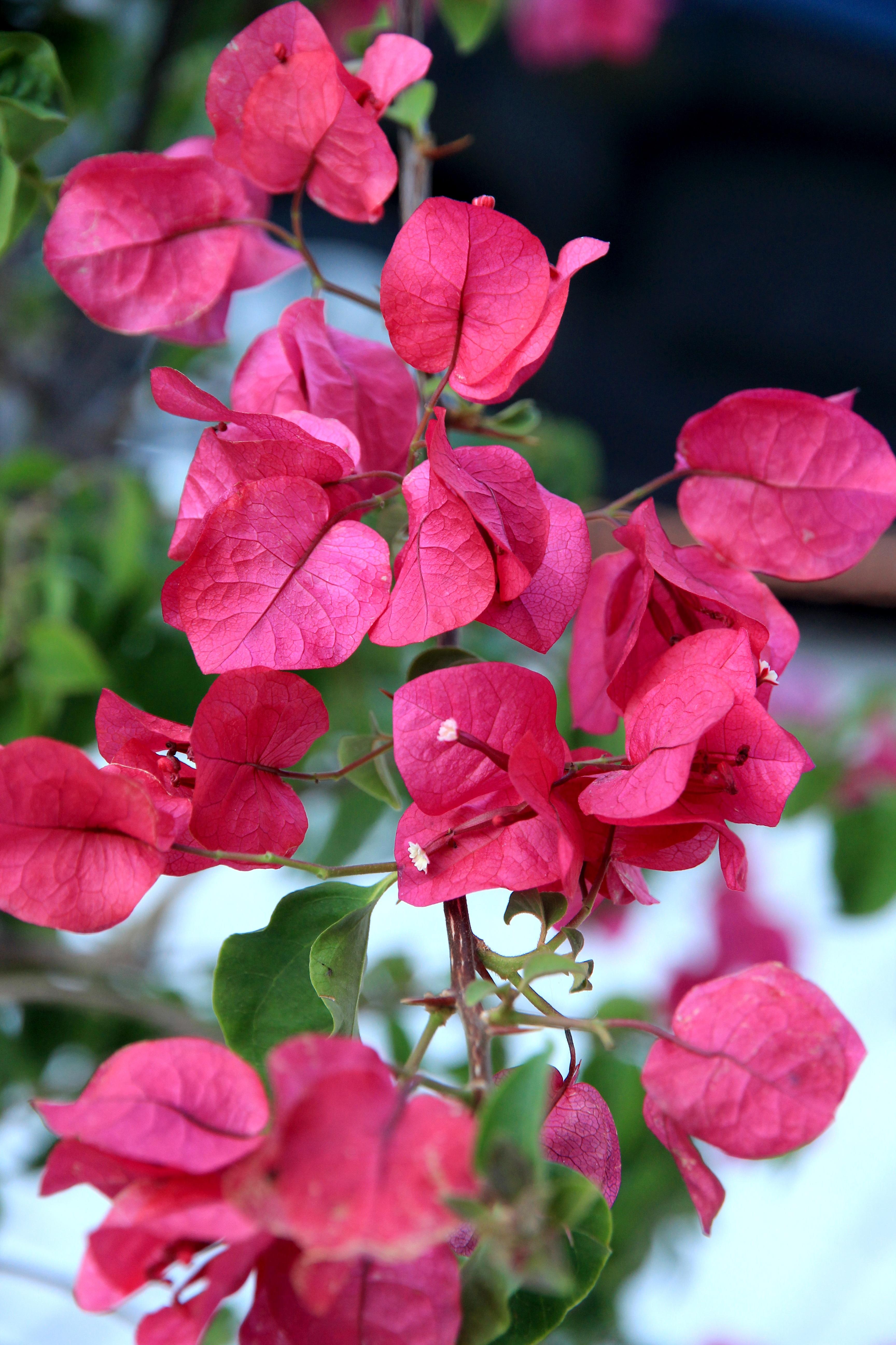 Free Images : blossom, leaf, flower, petal, bloom, red, botany, pink ...