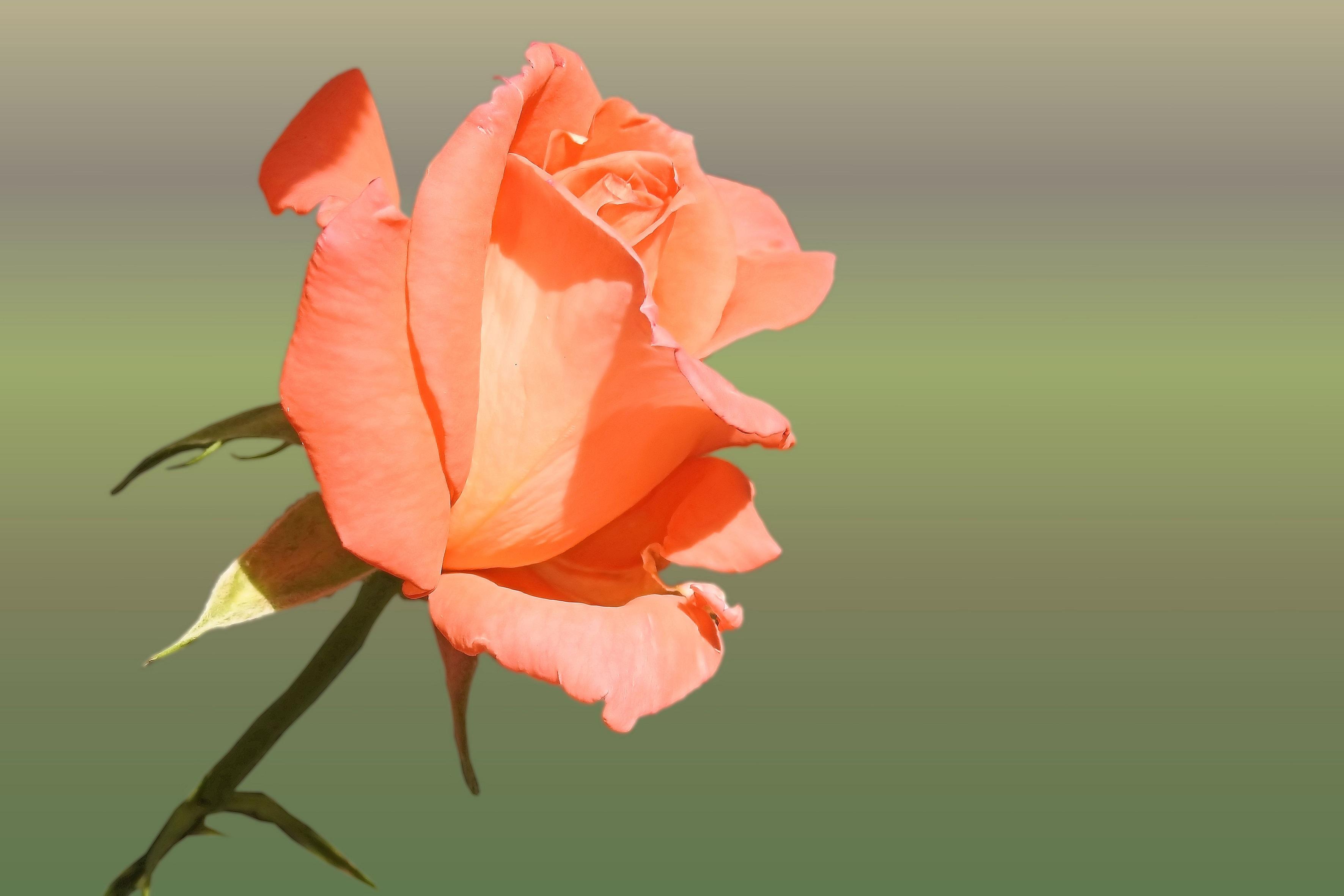 Fotos gratis : flor, hoja, pétalo, florecer, Rosa, naranja, flora ...