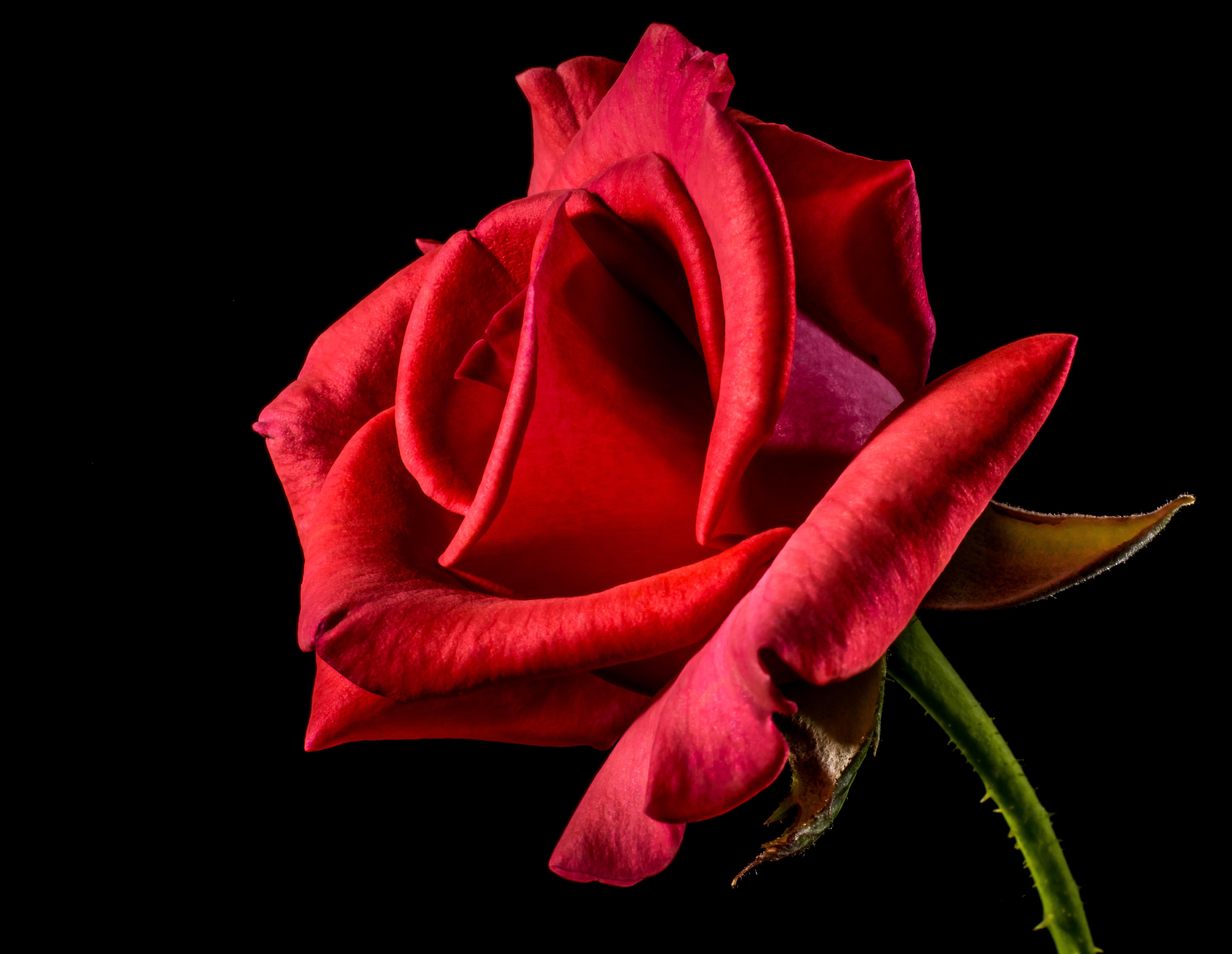 Images gratuites fleur feuille p tale floraison for Plante feuille rouge