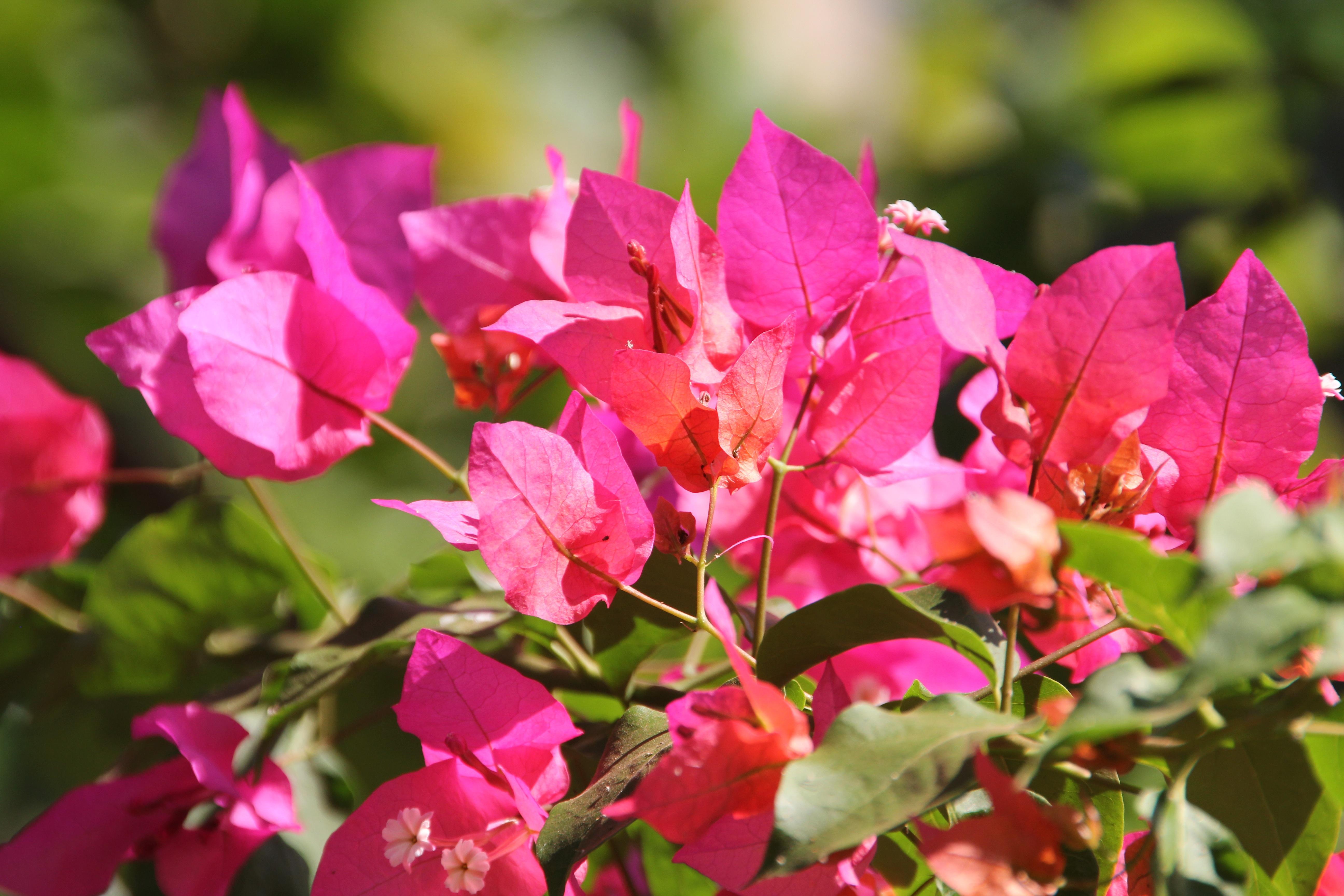 Images gratuites fleur feuille p tale floraison printemps rouge botanique rose flore - Arbuste fleur rouge printemps ...